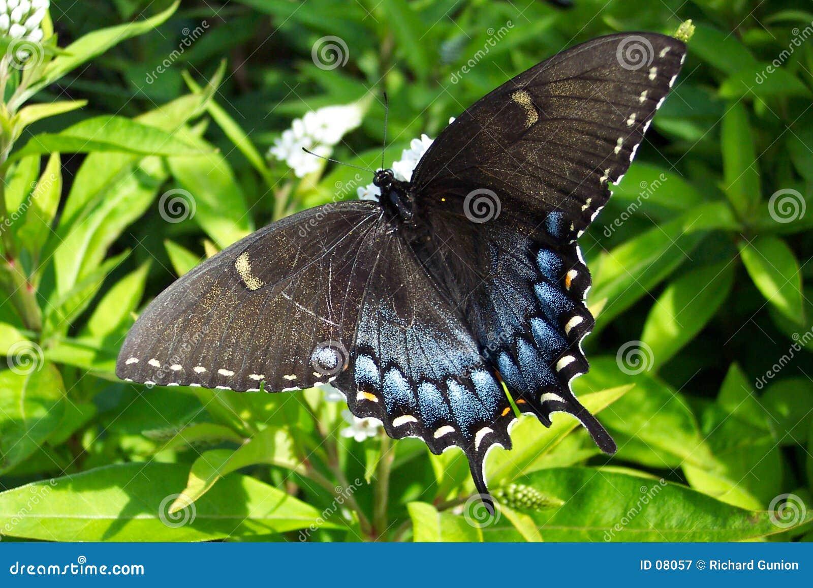 Czarny swalllowtail