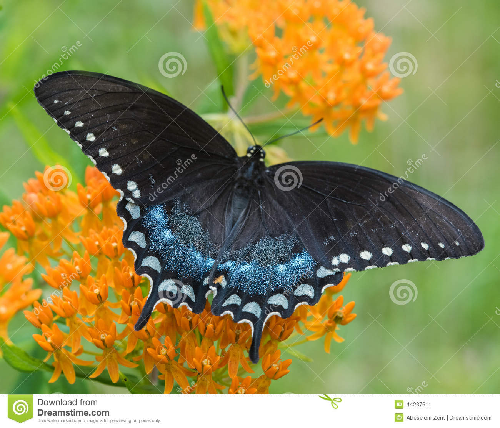 Czarny swallowtail