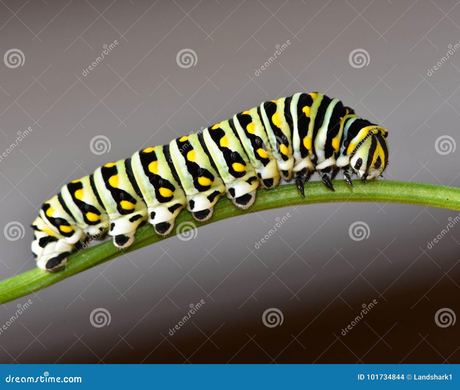 Czarny Swallowtail Caterpillar - Motylia larwa