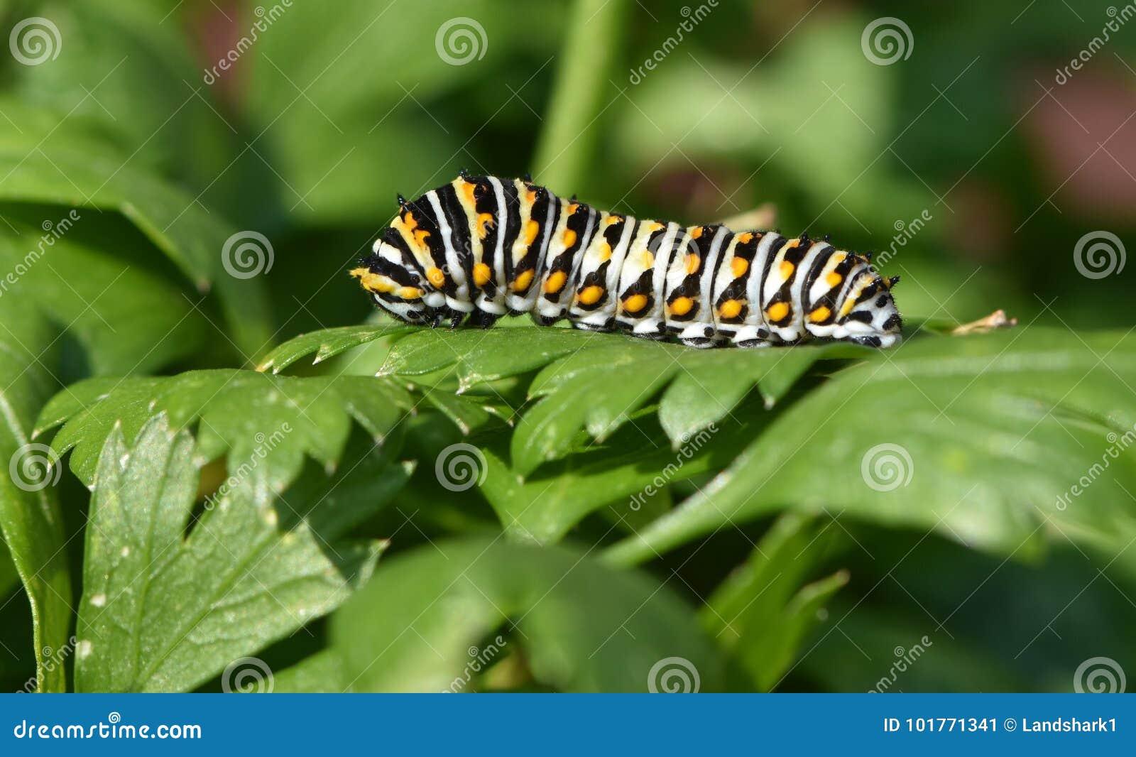 Czarny Swallowtail Caterpillar - Motylia larwa, także dzwoniąca pietruszki dżdżownica