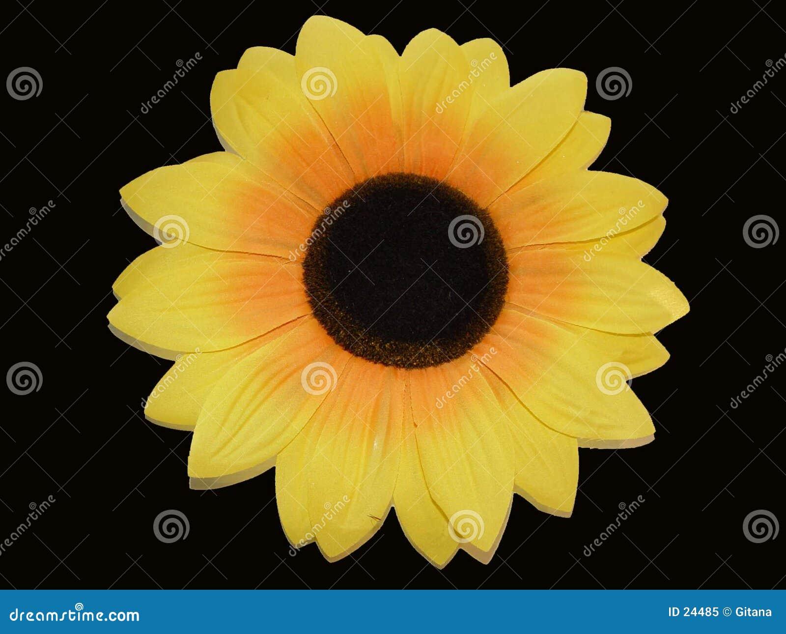 Czarny tła słonecznik
