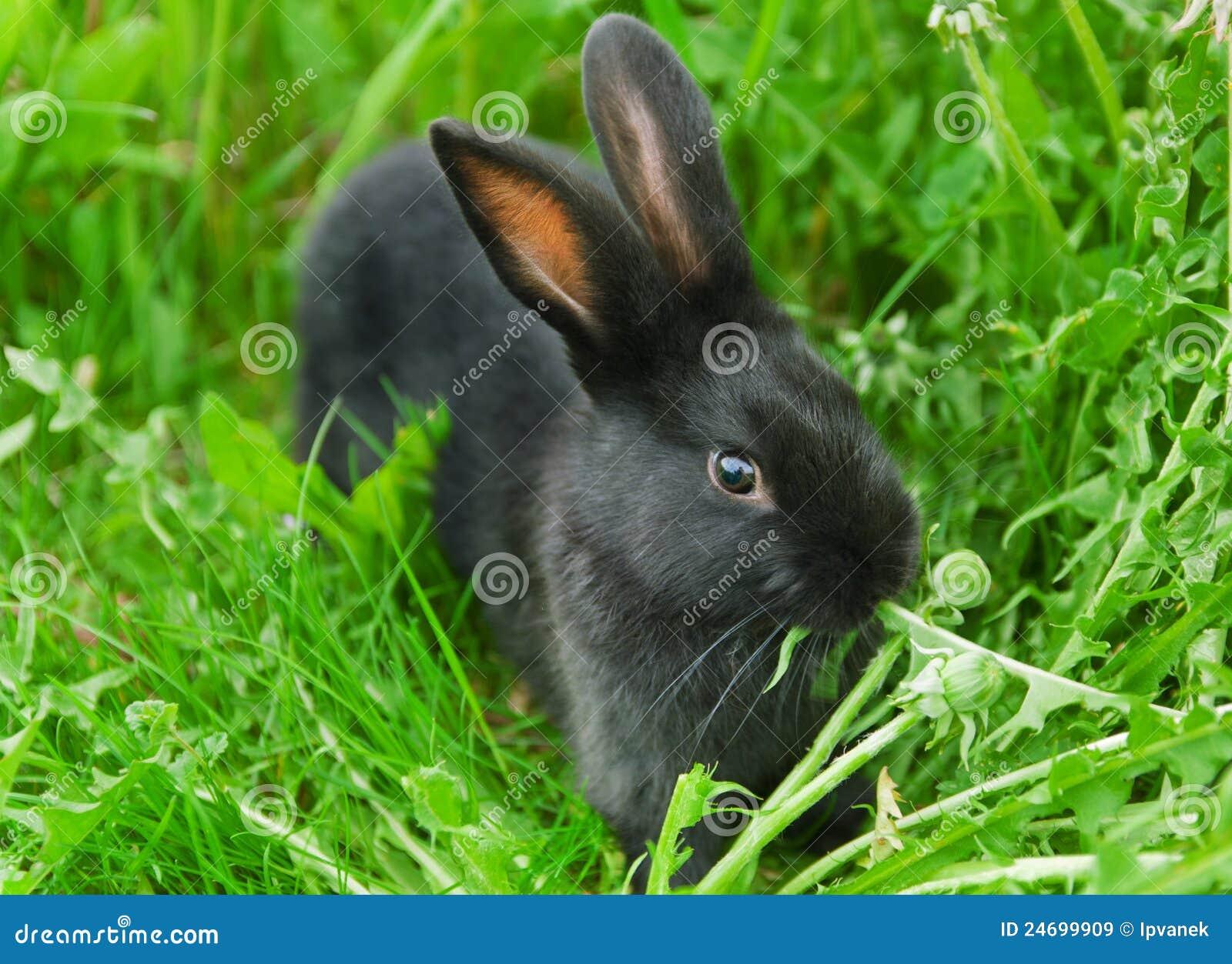 Czarny trawy zieleni królik