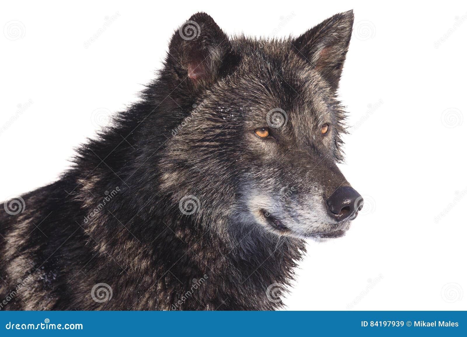 Czarny wilk strony portret