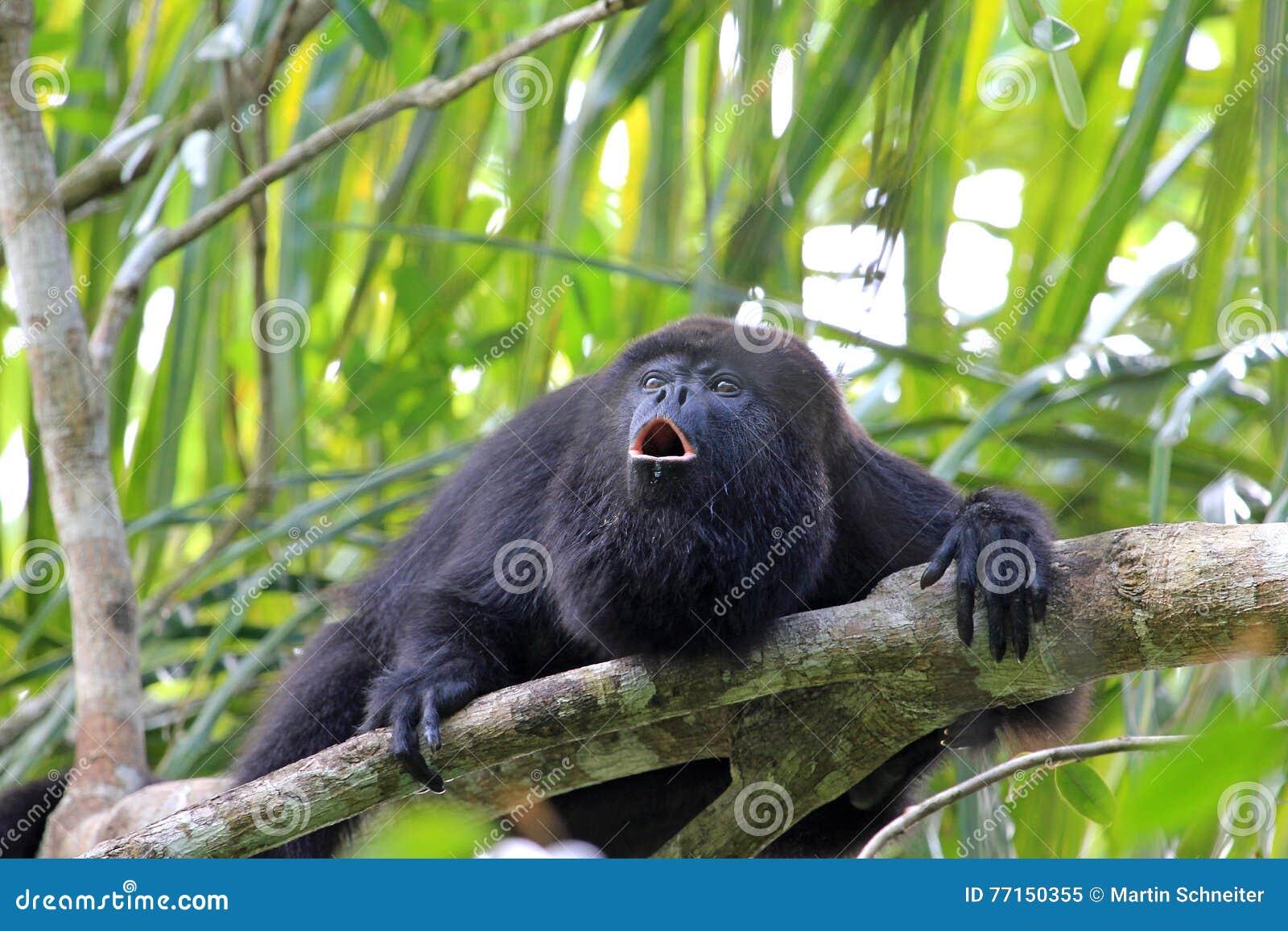 Czarny wyjec małpy wyć