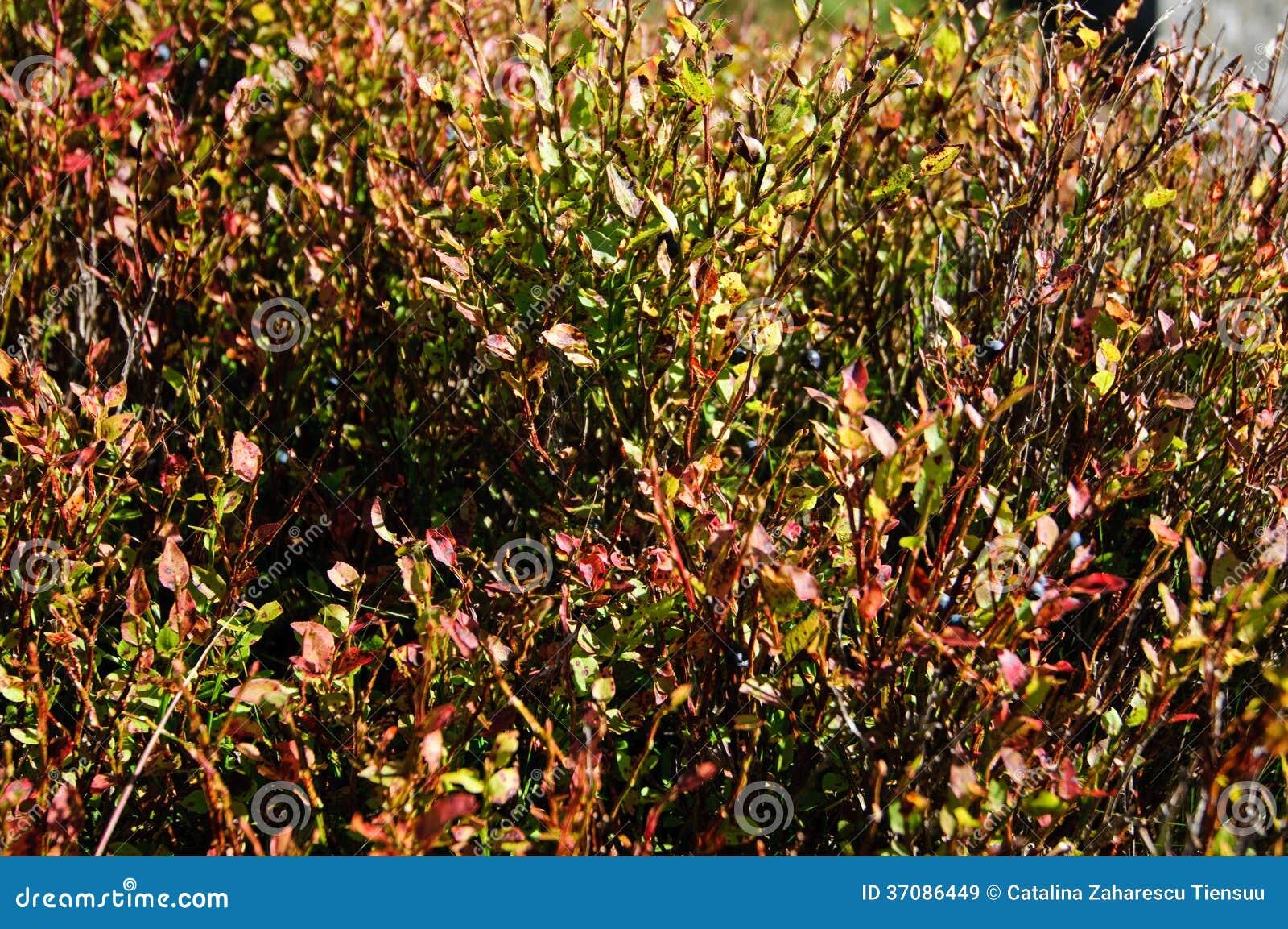 Download Czarnych jagod rośliny obraz stock. Obraz złożonej z jesienny - 37086449