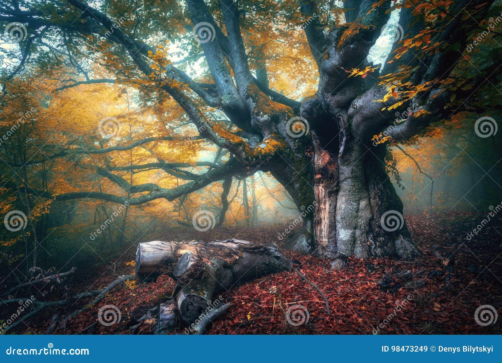 Czarodziejski drzewo w mgle Stary magiczny drzewo z dużą pomarańcze i gałąź