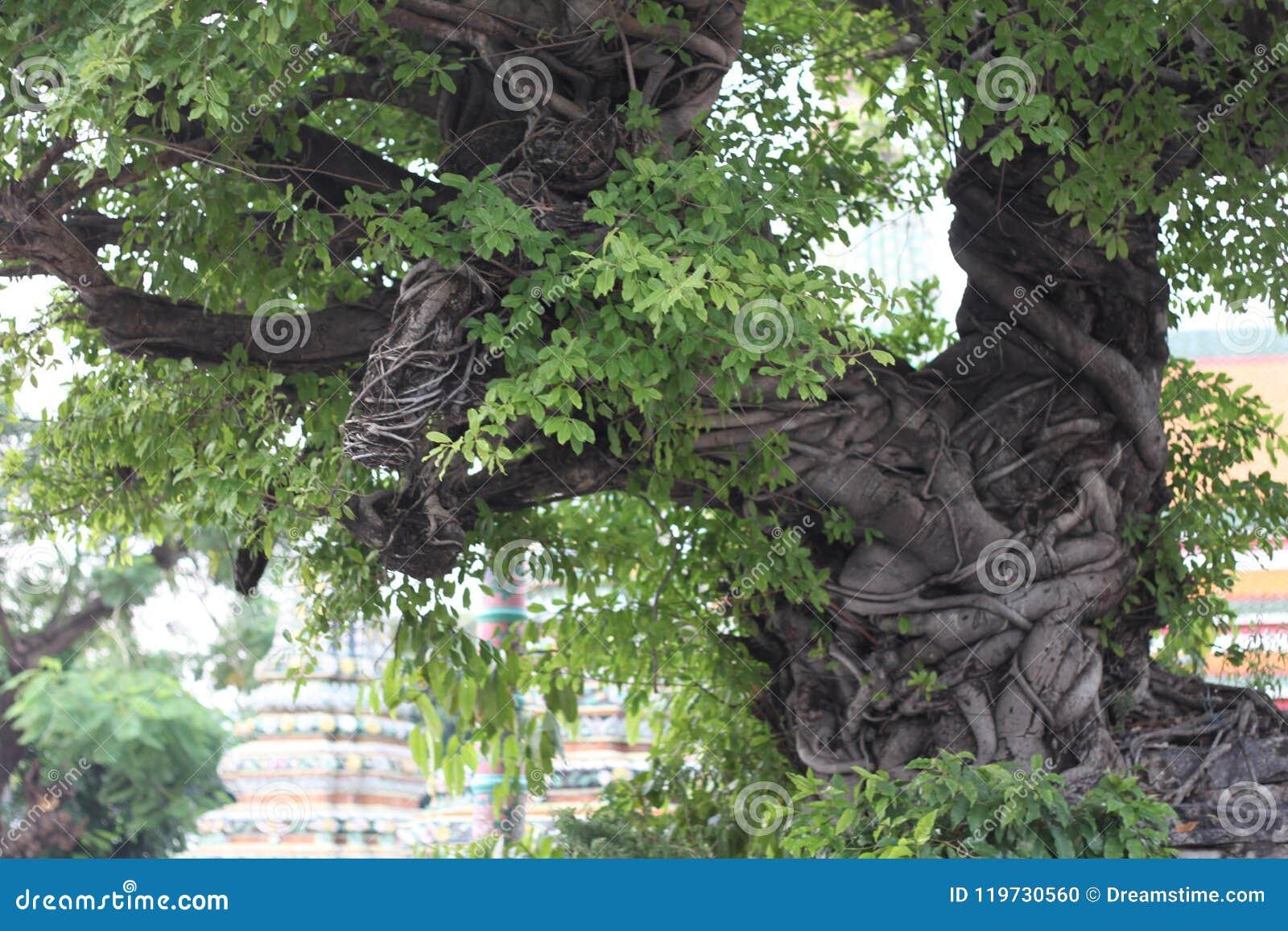 Czarowny drzewo w Tajlandia Buddha