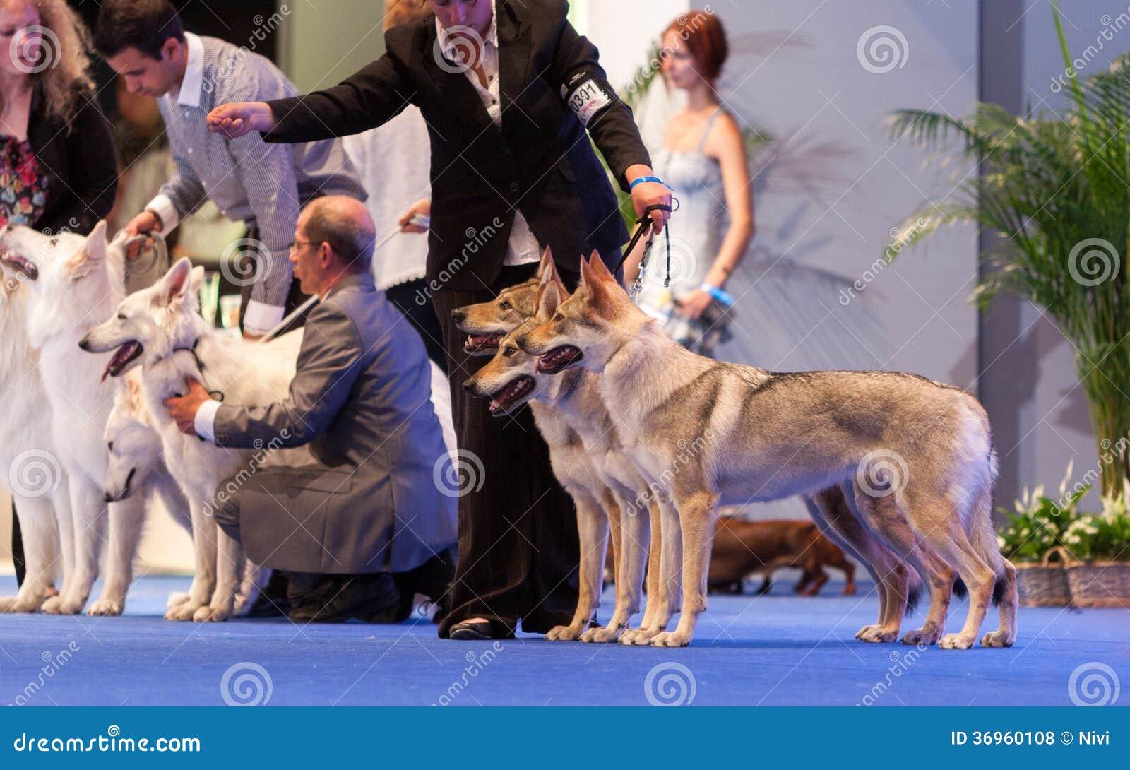 White Swiss Shepherd Show Ring