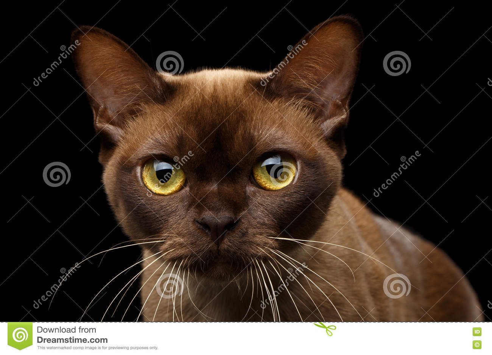 Czekoladowy Birmański Kot Na Odosobnionym Czarnym Tle Zdjęcie Stock