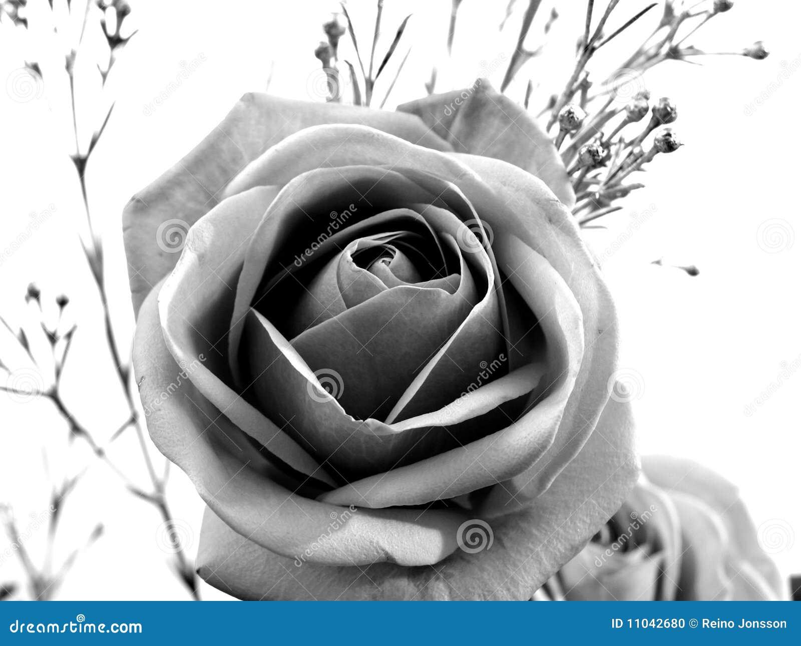 Czerń róży biel