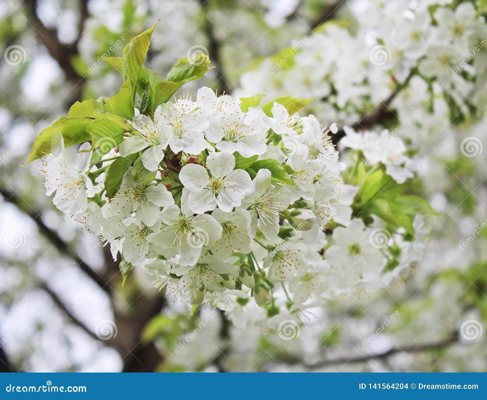 Czereśniowego drzewa kwiat w sping