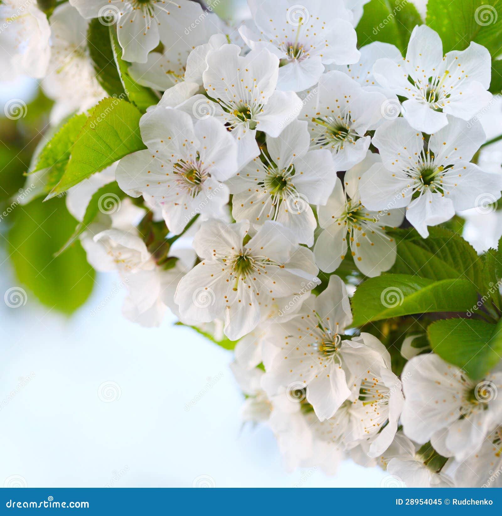 Czereśniowa gałązka w kwiacie