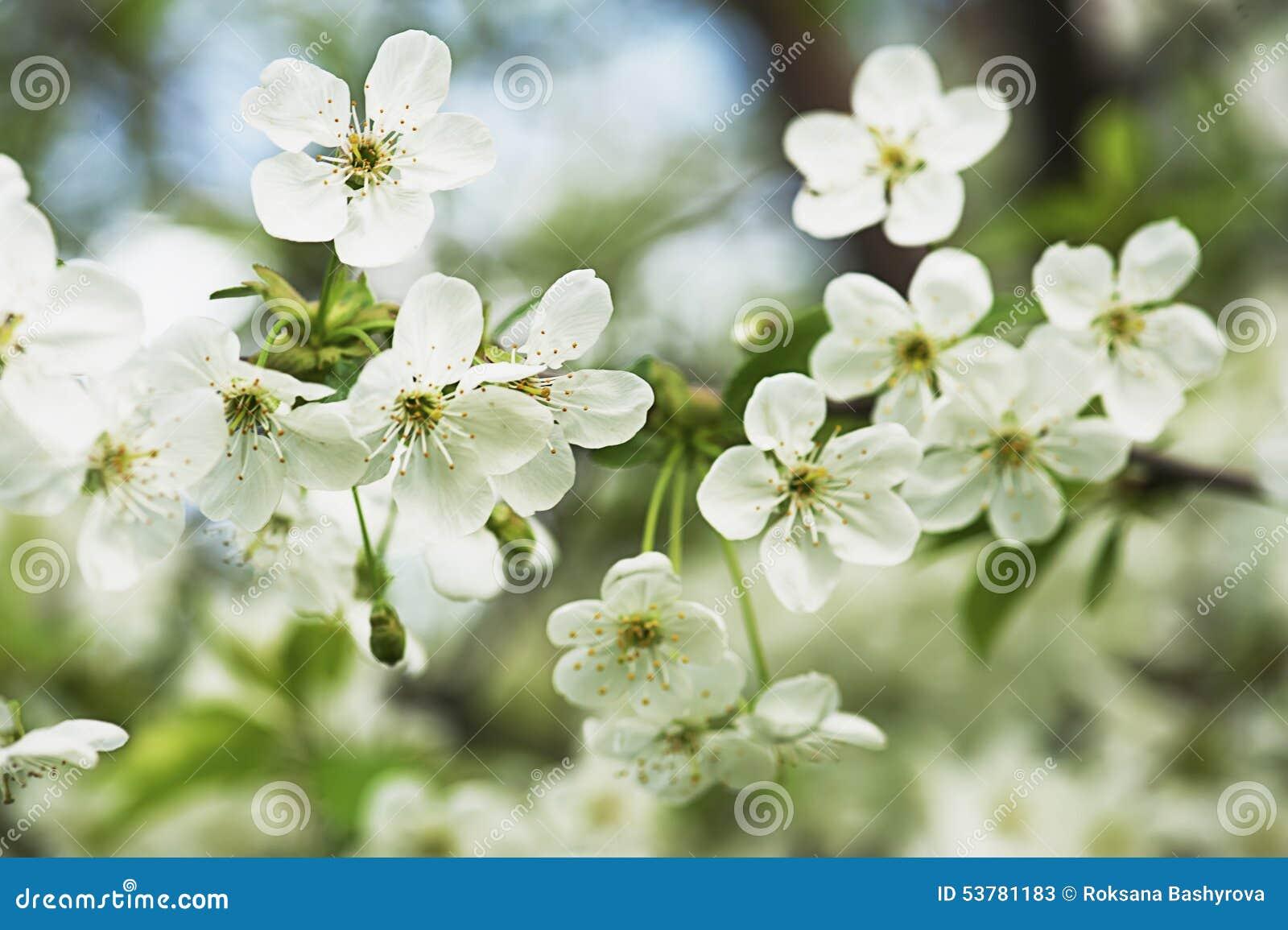 Czereśniowego drzewa kwiaty
