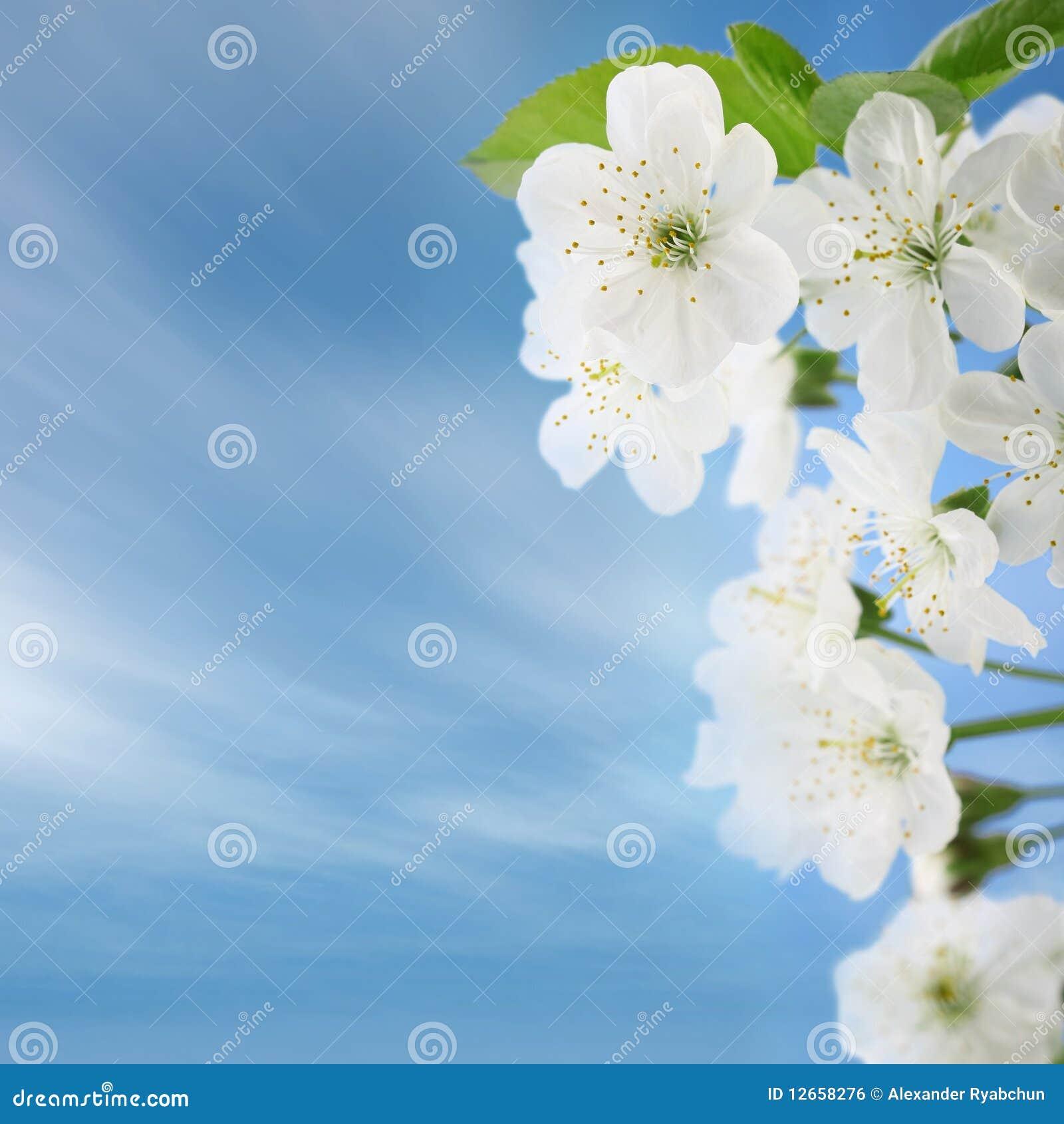 Czereśniowi kwiaty