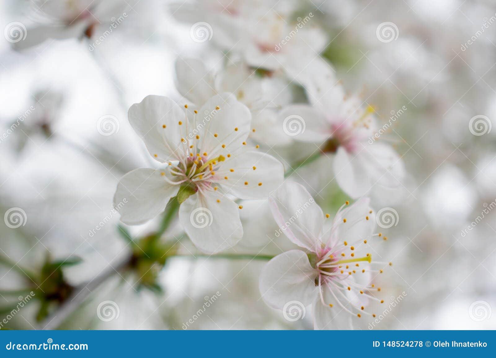Czereśniowy drzewo z kwiatami 2