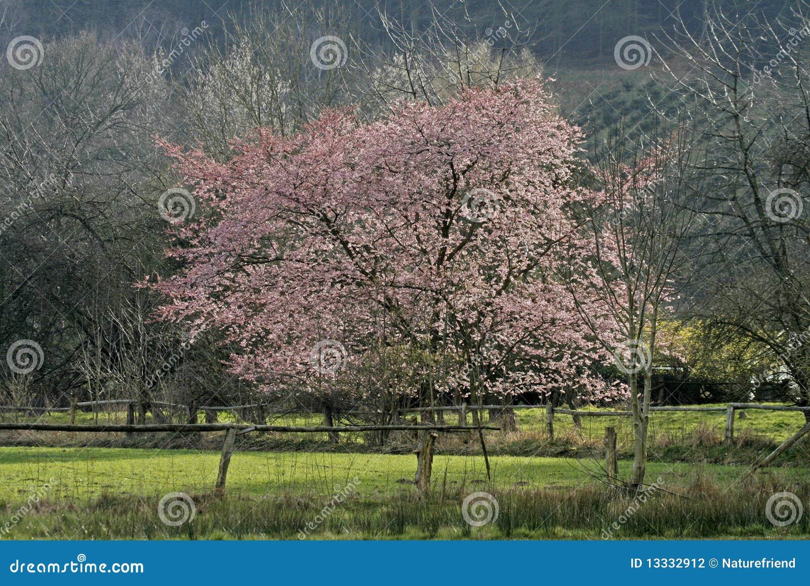 Czereśniowy Germany japoński wiosna drzewo