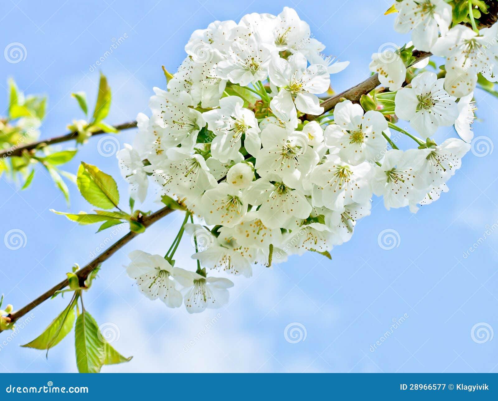 Czereśniowy kwiatu tło