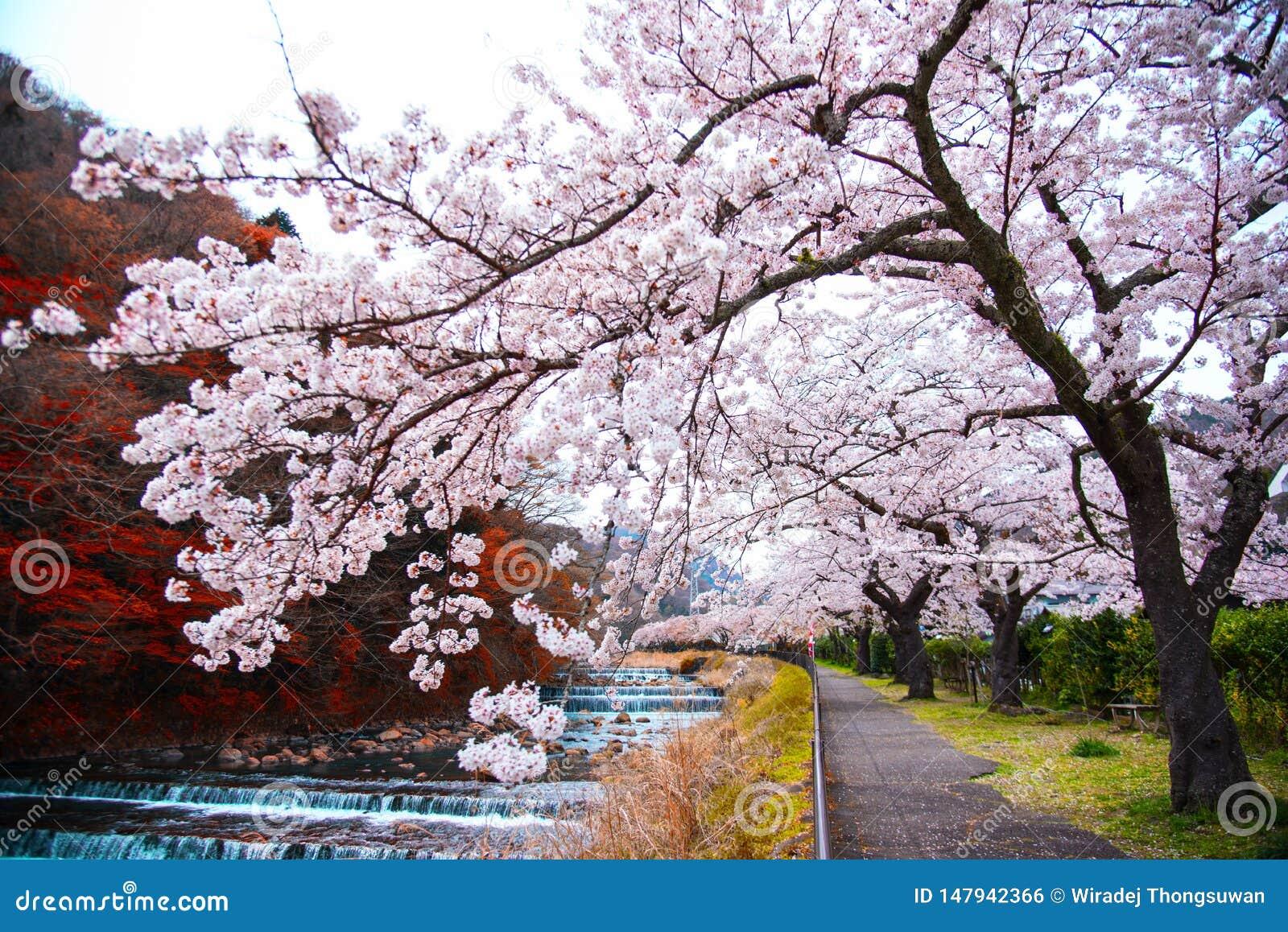 Czereśniowy okwitnięcie folował kwitnienie przy Hakone parkiem, Japonia