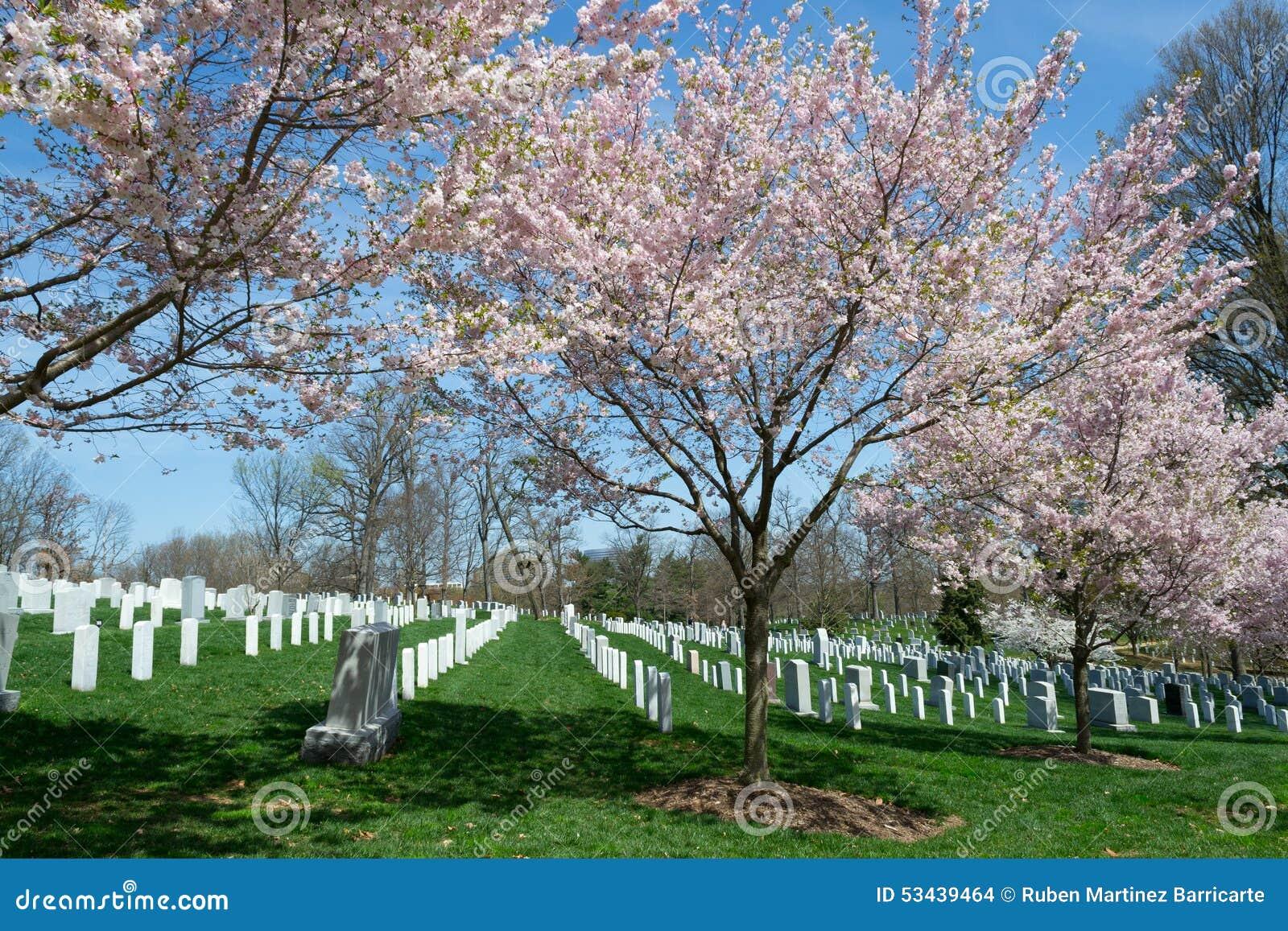 Czereśniowy okwitnięcie w cementery