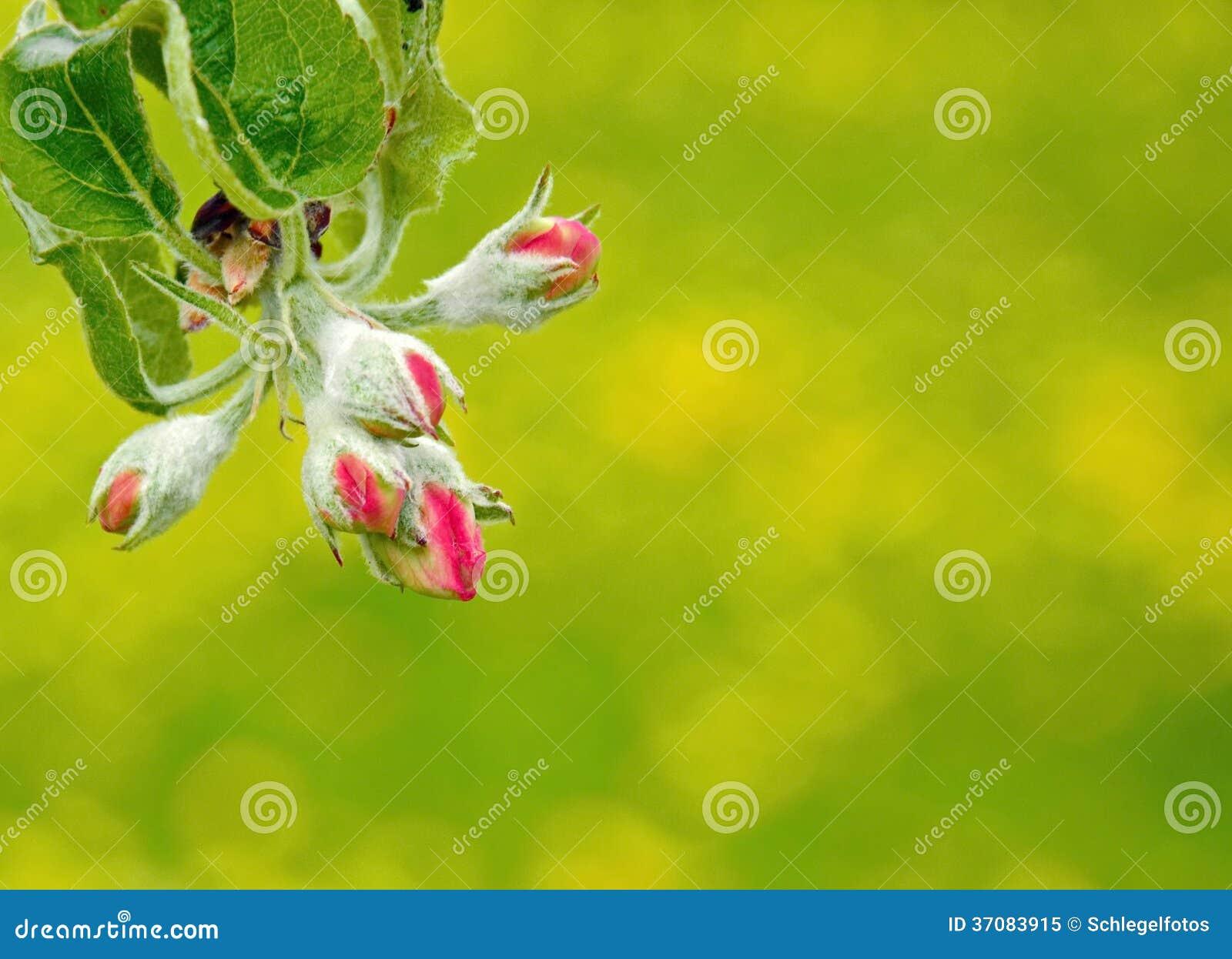 Download Czereśniowy Okwitnięcie W Wiośnie Obraz Stock - Obraz złożonej z kwiat, niebo: 37083915
