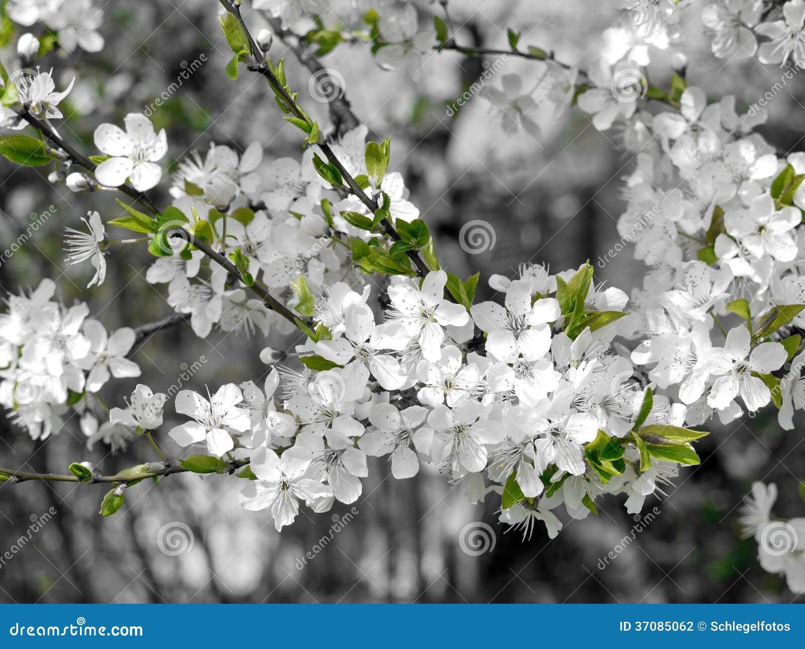 Download Czereśniowy Okwitnięcie W Wiośnie Zdjęcie Stock - Obraz złożonej z plenerowy, piękno: 37085062