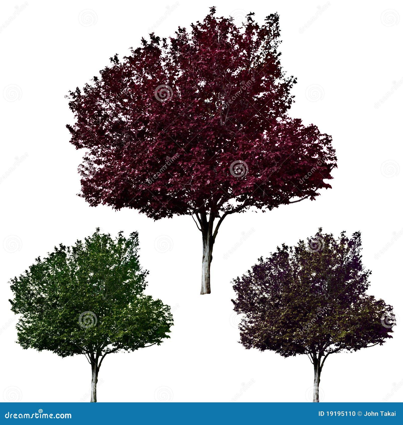 Czereśniowy ustalony drzewo