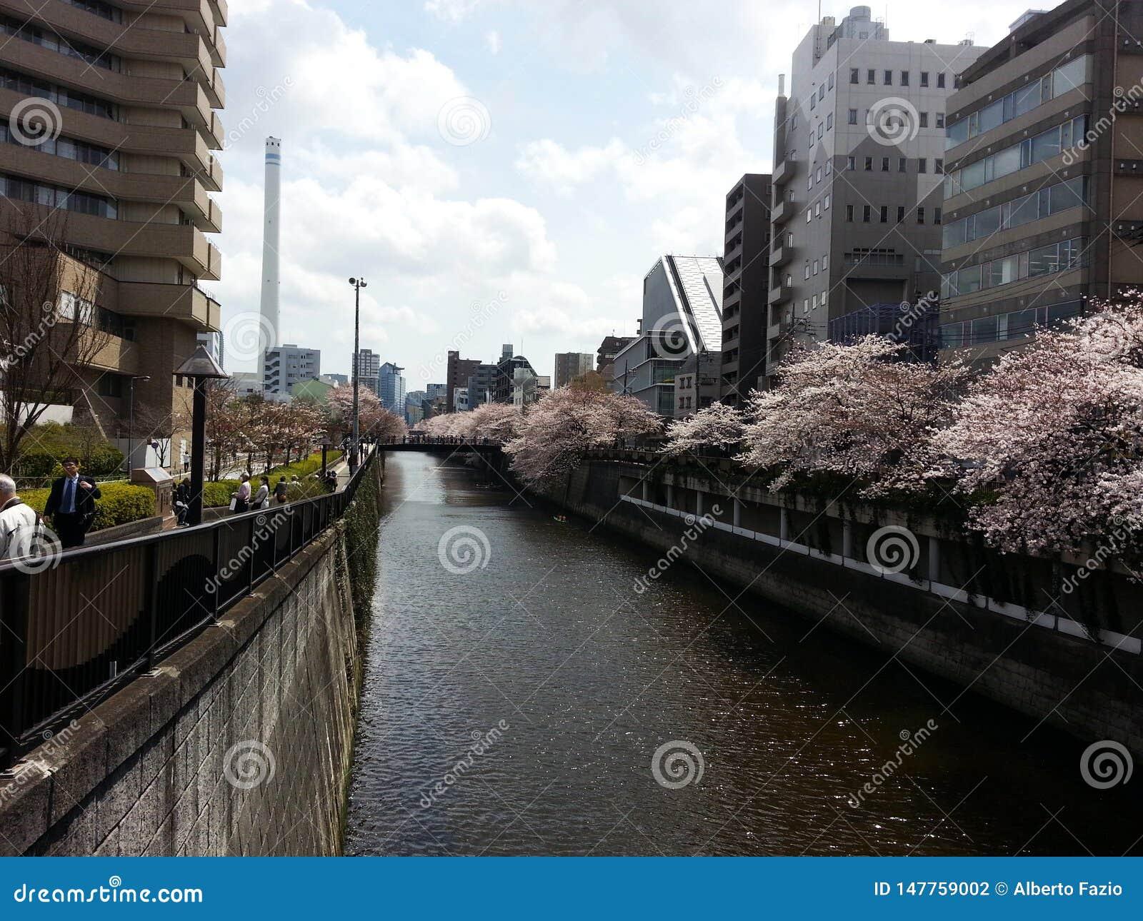 Czere?niowi drzewa w Tokio