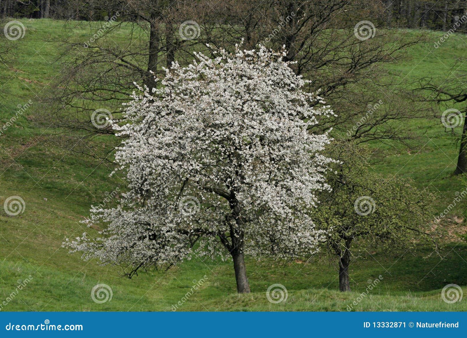 Czereśniowy Europe Germany wiosna drzewo