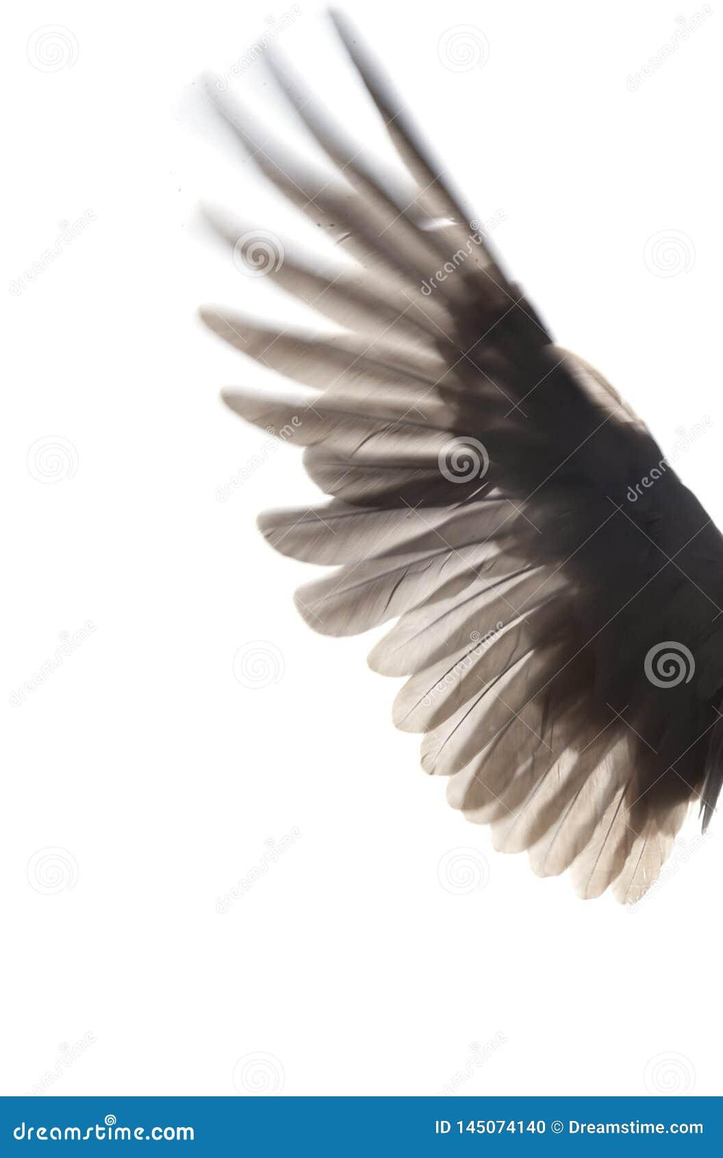 Czerni skrzydła ptak na białym tle