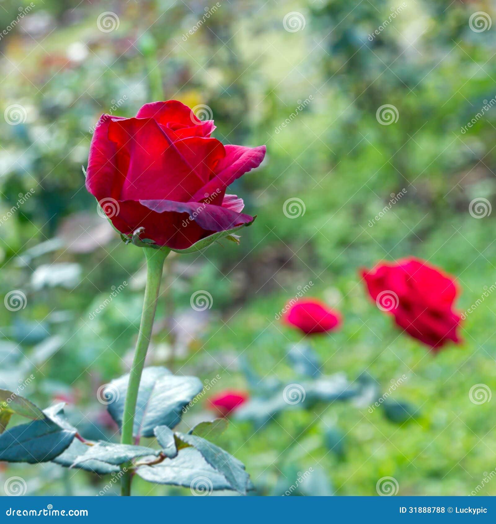 Czerwieni róża w ogródzie