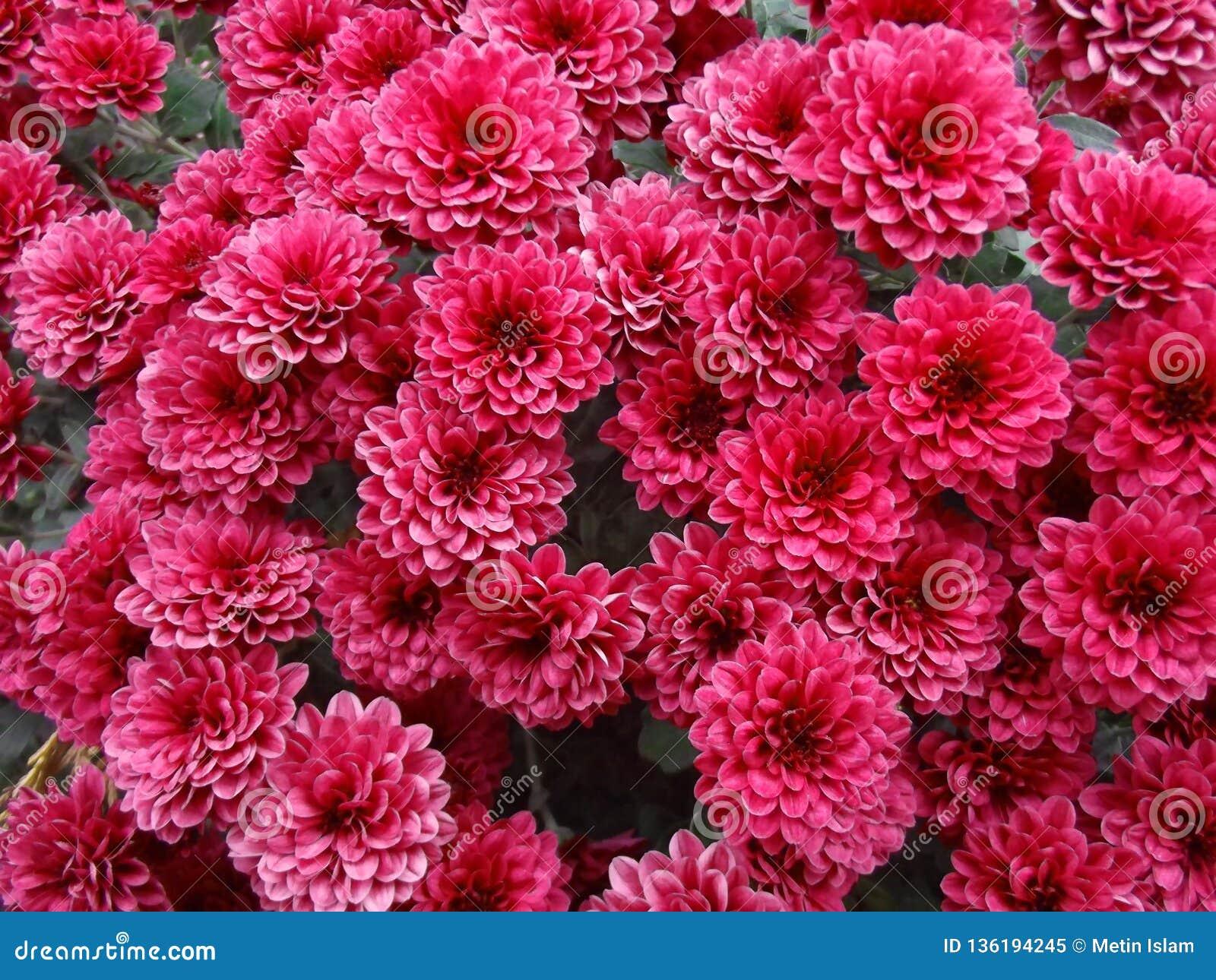 Czerwona chryzantema Kwitnie Naturalnego tło