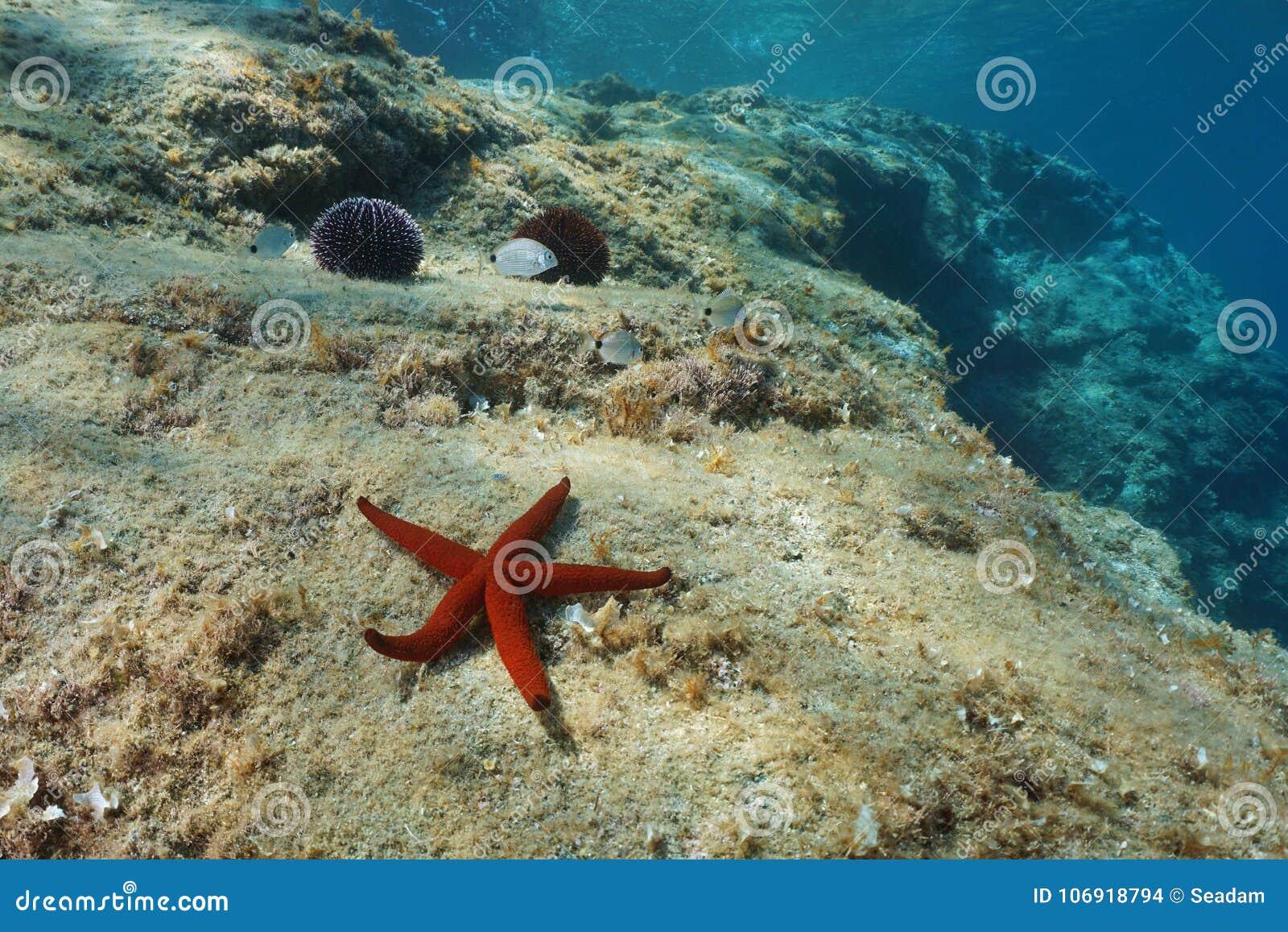 Czerwona denna gwiazda na rockowym podwodnym morzu śródziemnomorskim