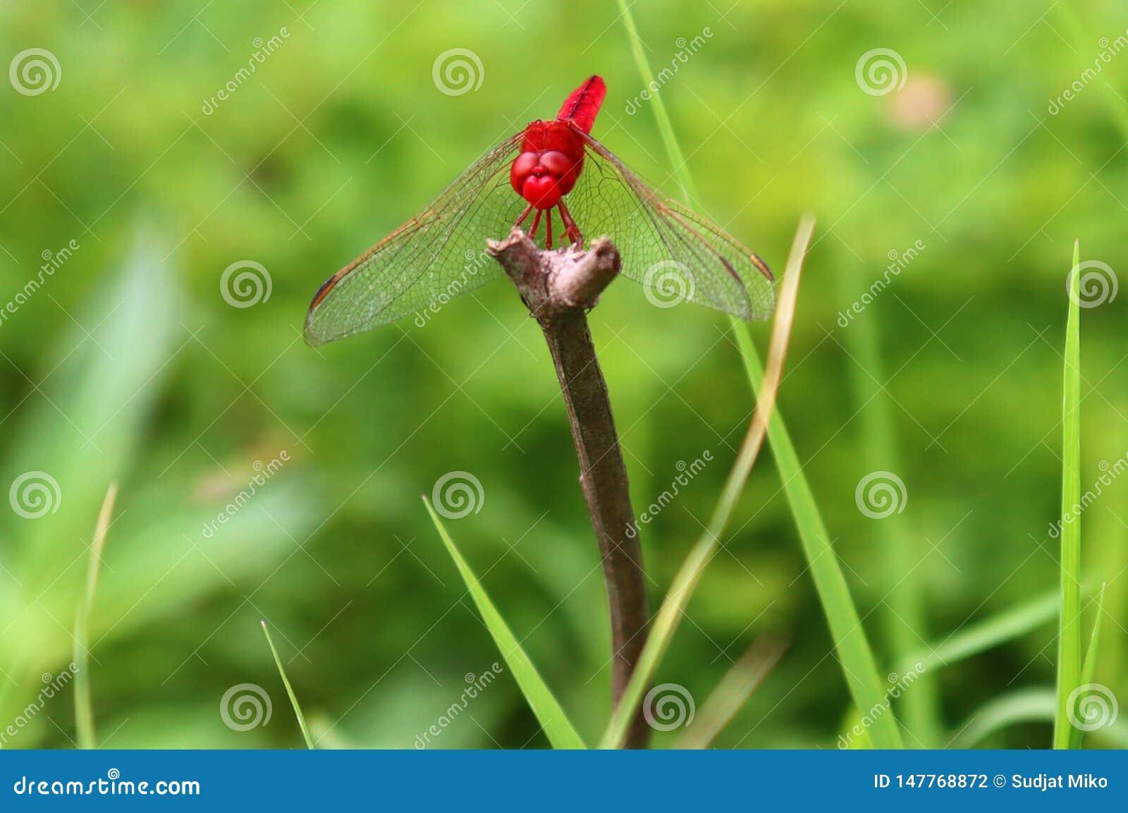 Czerwona dragonflies żerdź na suchych gałąź
