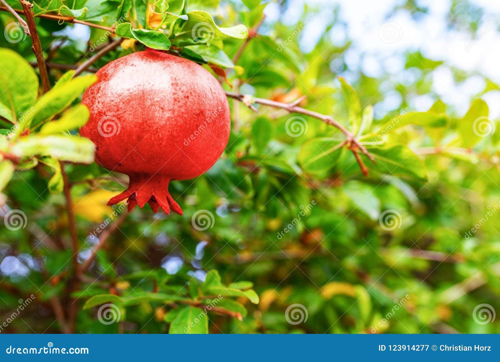 Czerwona granatowiec owoc na granatowa drzewie