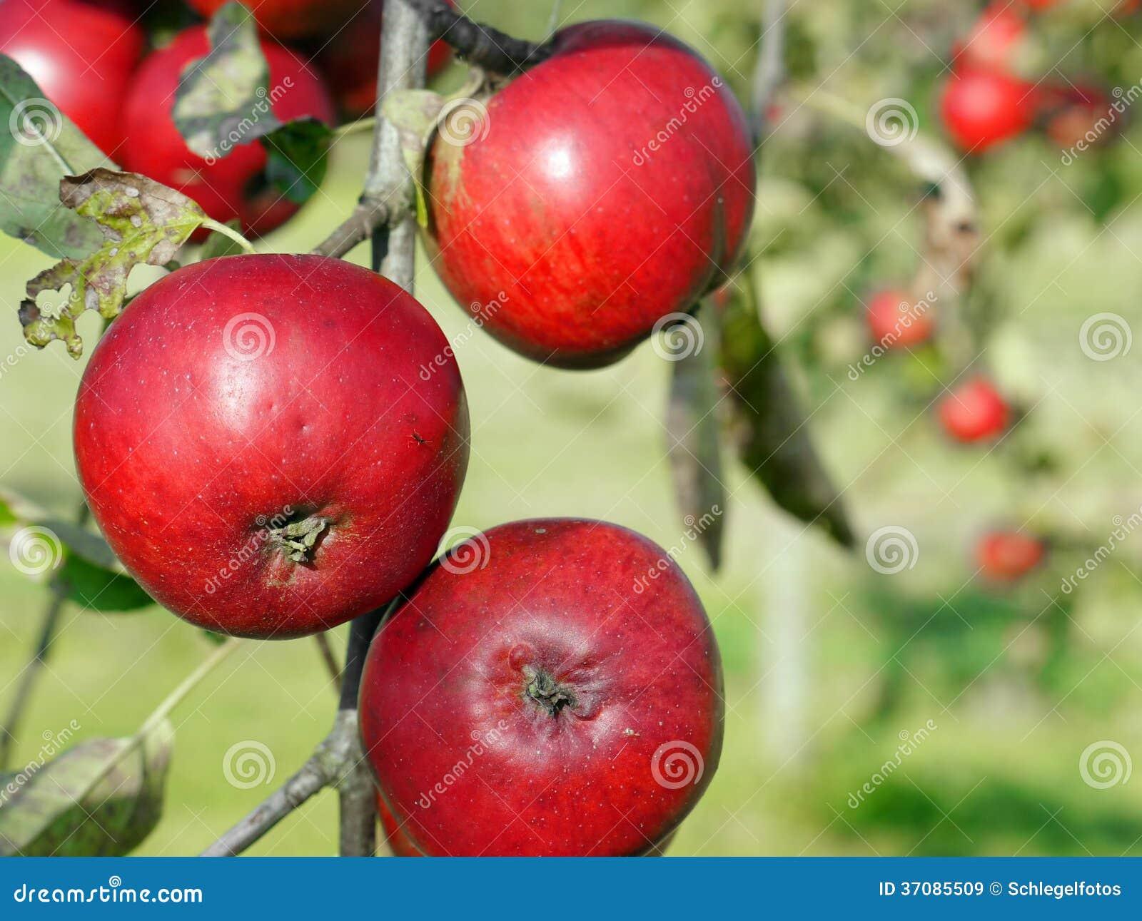 Download Czerwona jabłoń w ogródzie obraz stock. Obraz złożonej z naturalny - 37085509