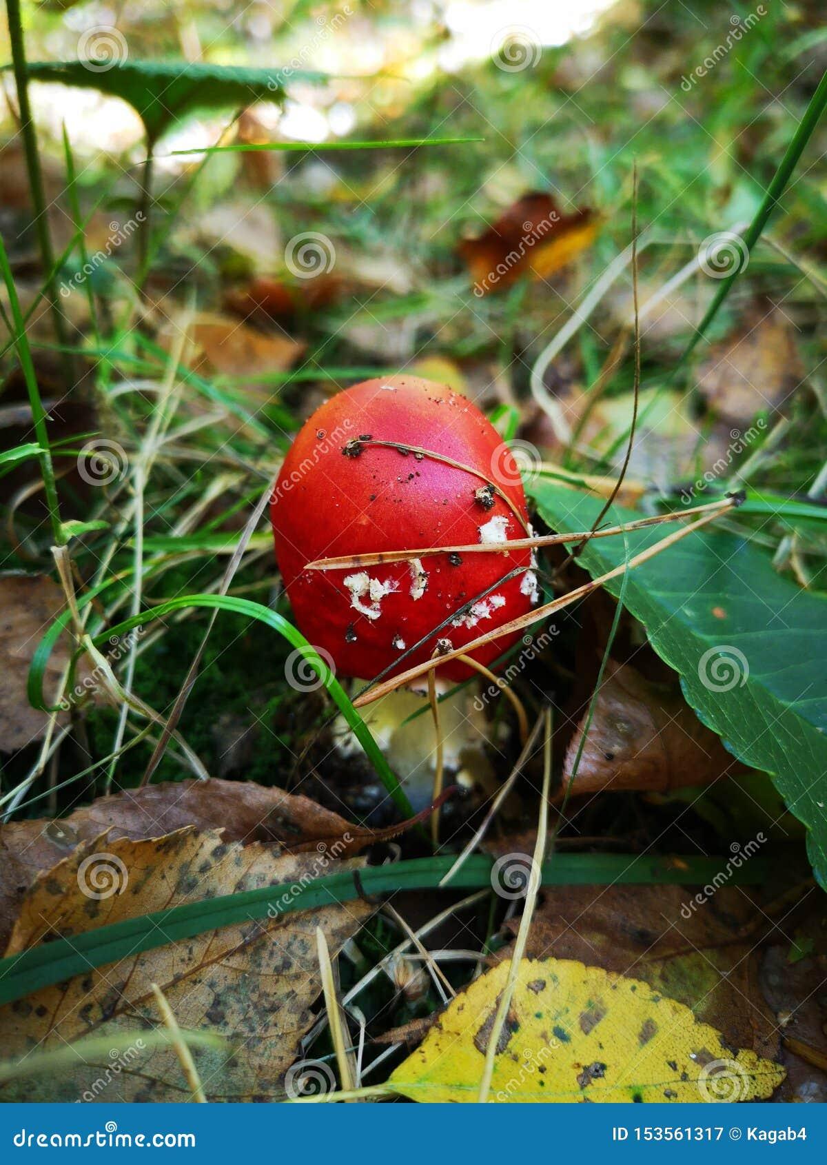 Czerwona komarnicy bedłka, mała Substanci toksycznej pieczarka jesieni? amanita muscaria grzyb?w niebezpiecze?stw Jadowity grzyb