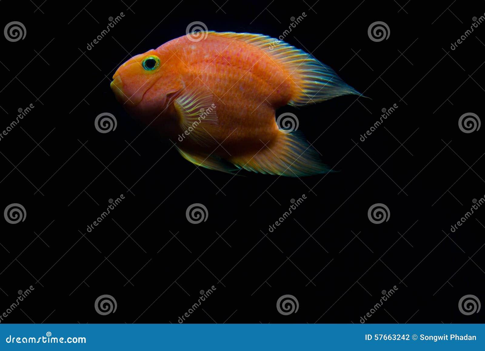 Czerwona Krwionośna miłość papug ryba