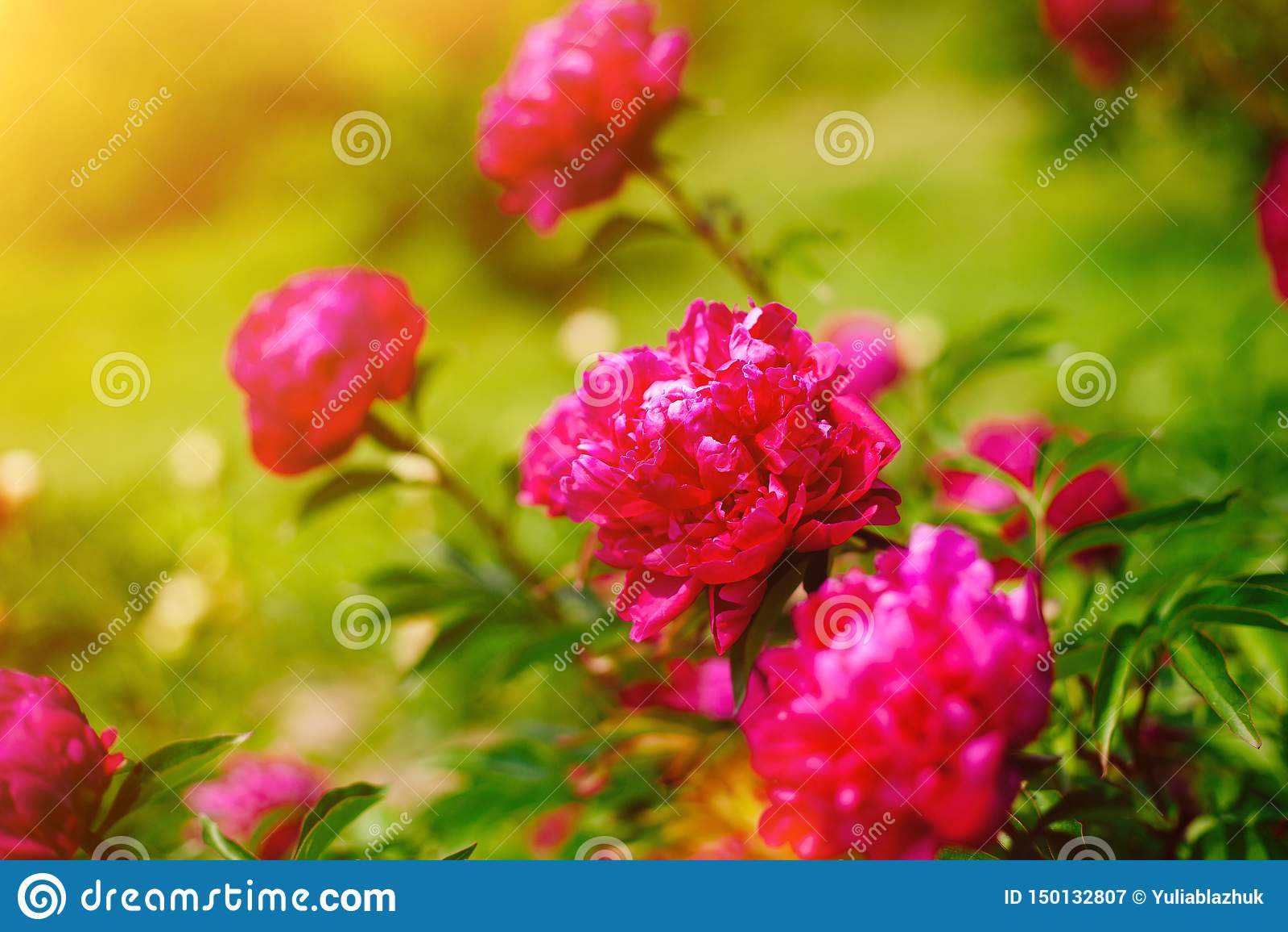 Czerwona kwiat peonia kwitnie w peonia ogródzie Piękna świeża zielona trawa i miękkiej części światło słoneczne w tle