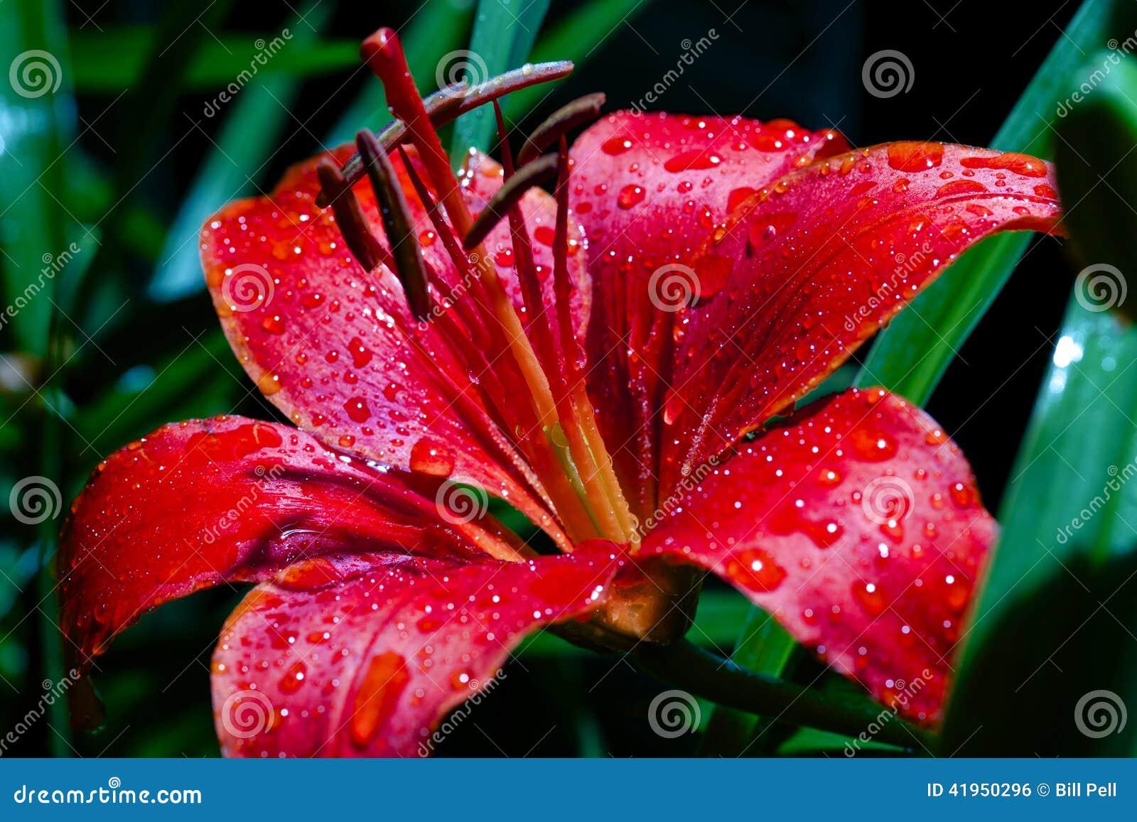 Czerwona leluja Po deszczu