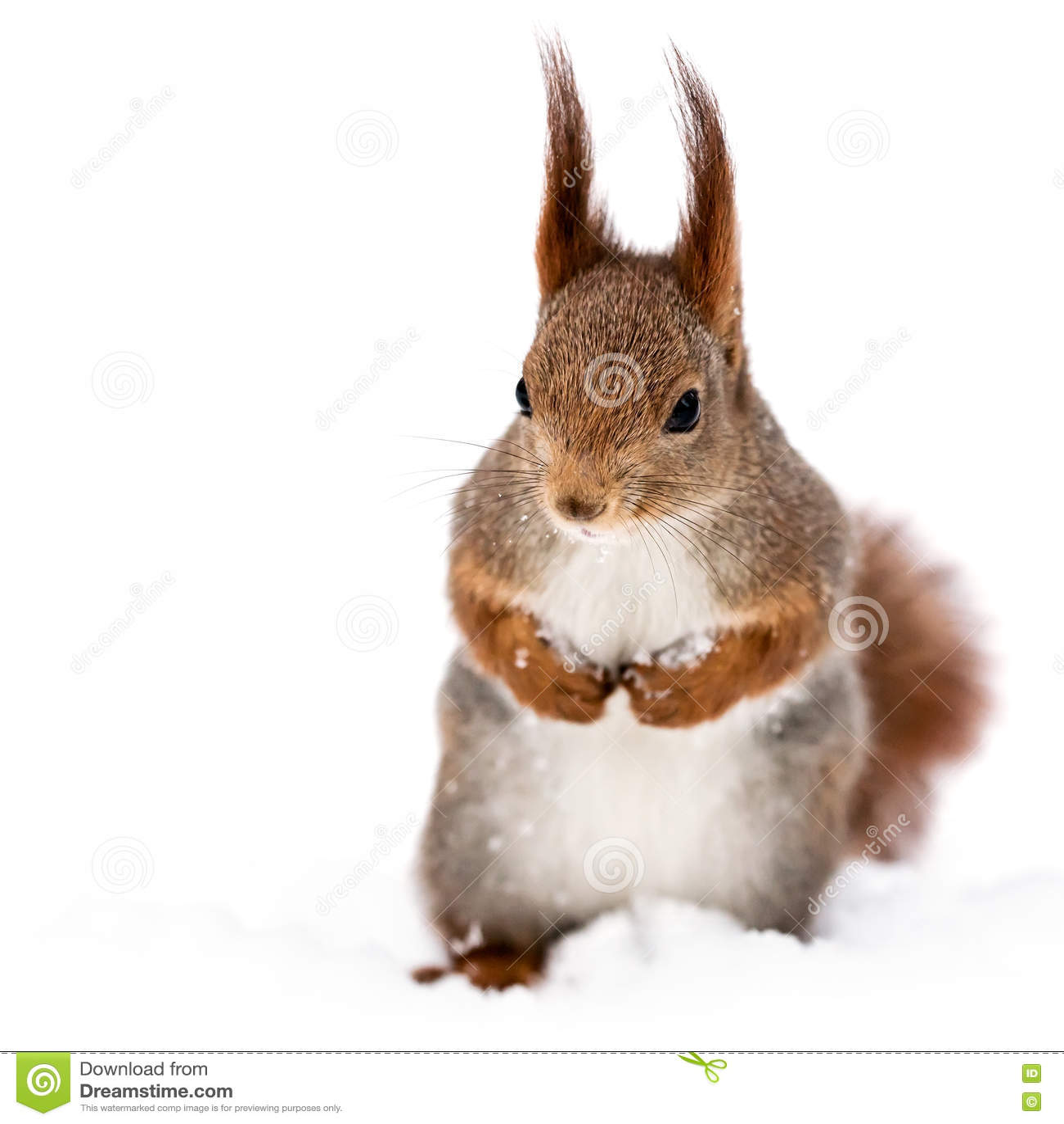 Czerwona mała śmieszna wiewiórka na śnieżnym tle