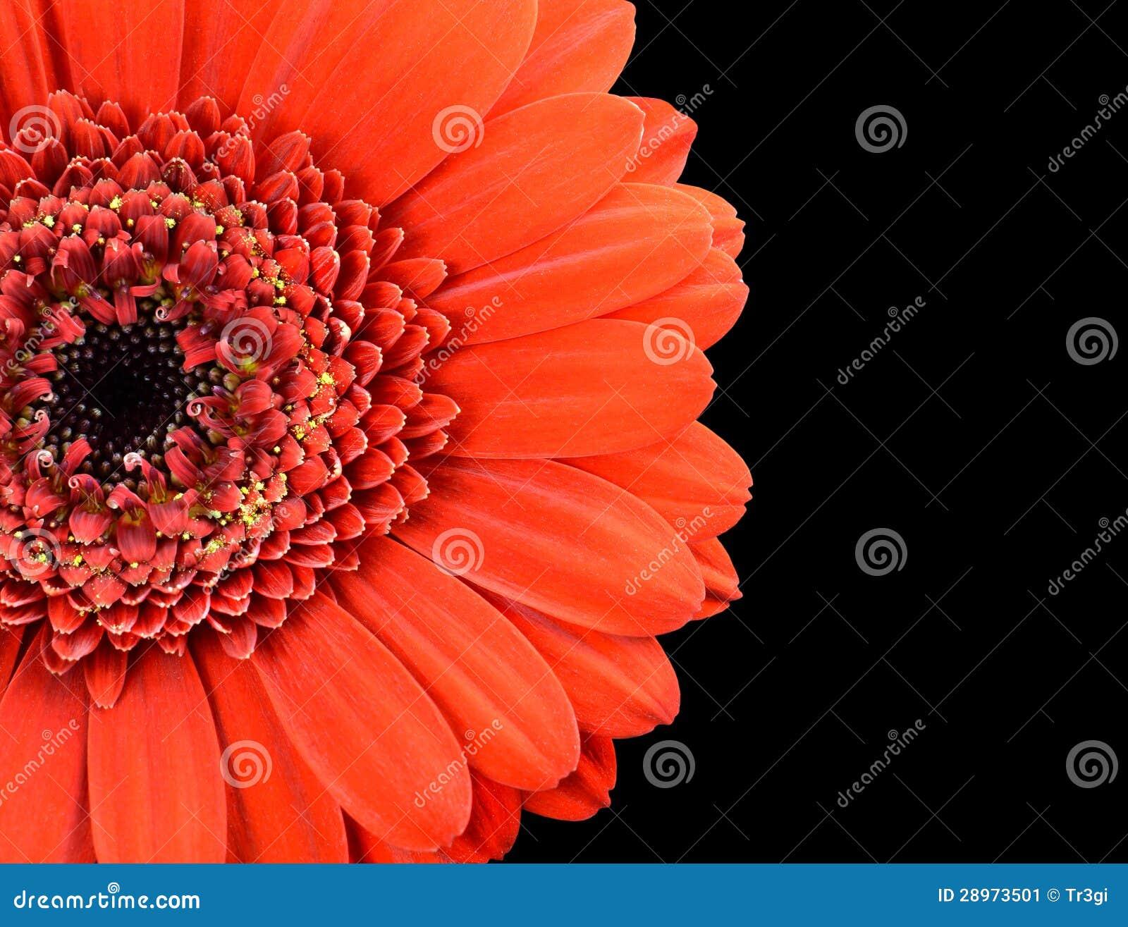 Czerwona nagietka kwiatu część Odizolowywająca na czerni