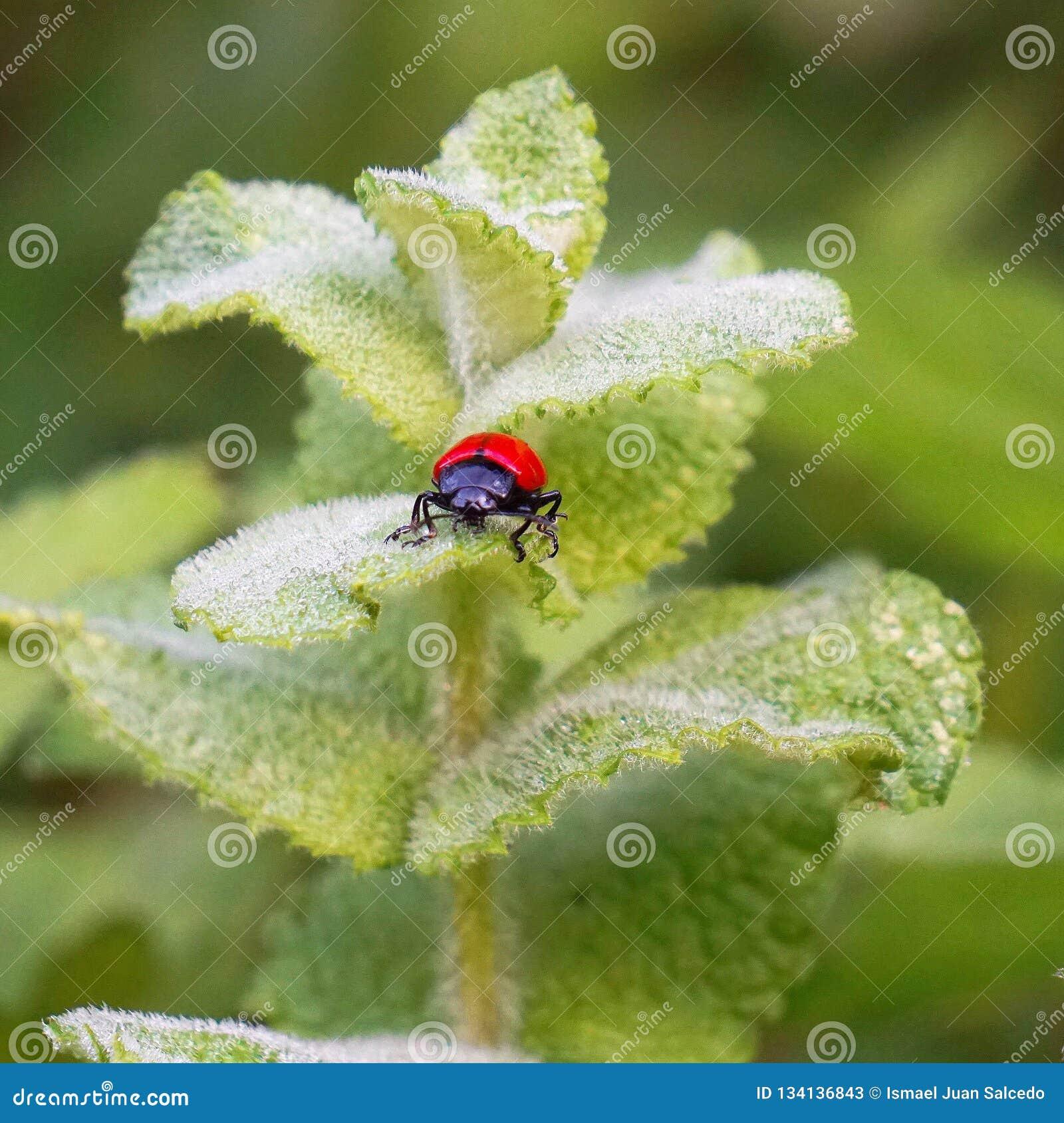 Czerwona pluskwa na zielonej roślinie opuszcza