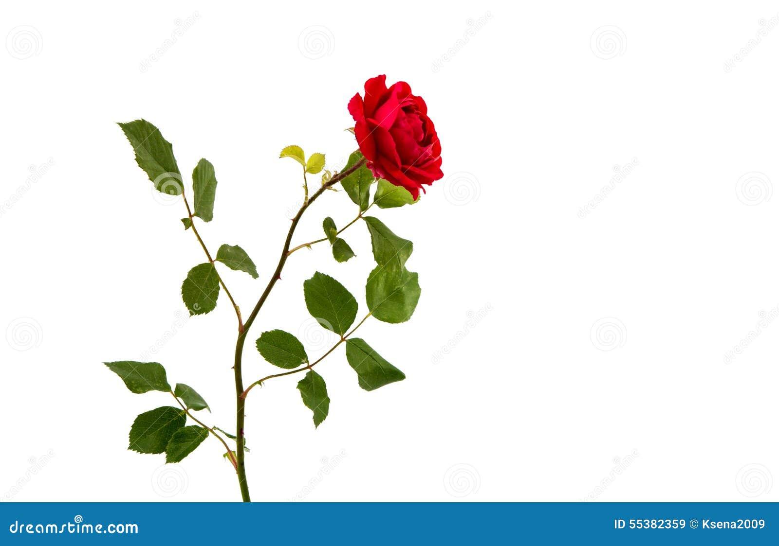 Czerwona róża odizolowana