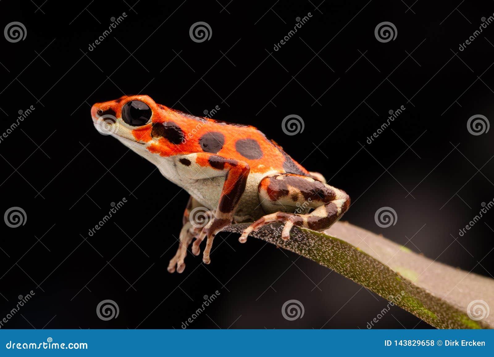 Czerwona tropikalna jad strzałki żaba
