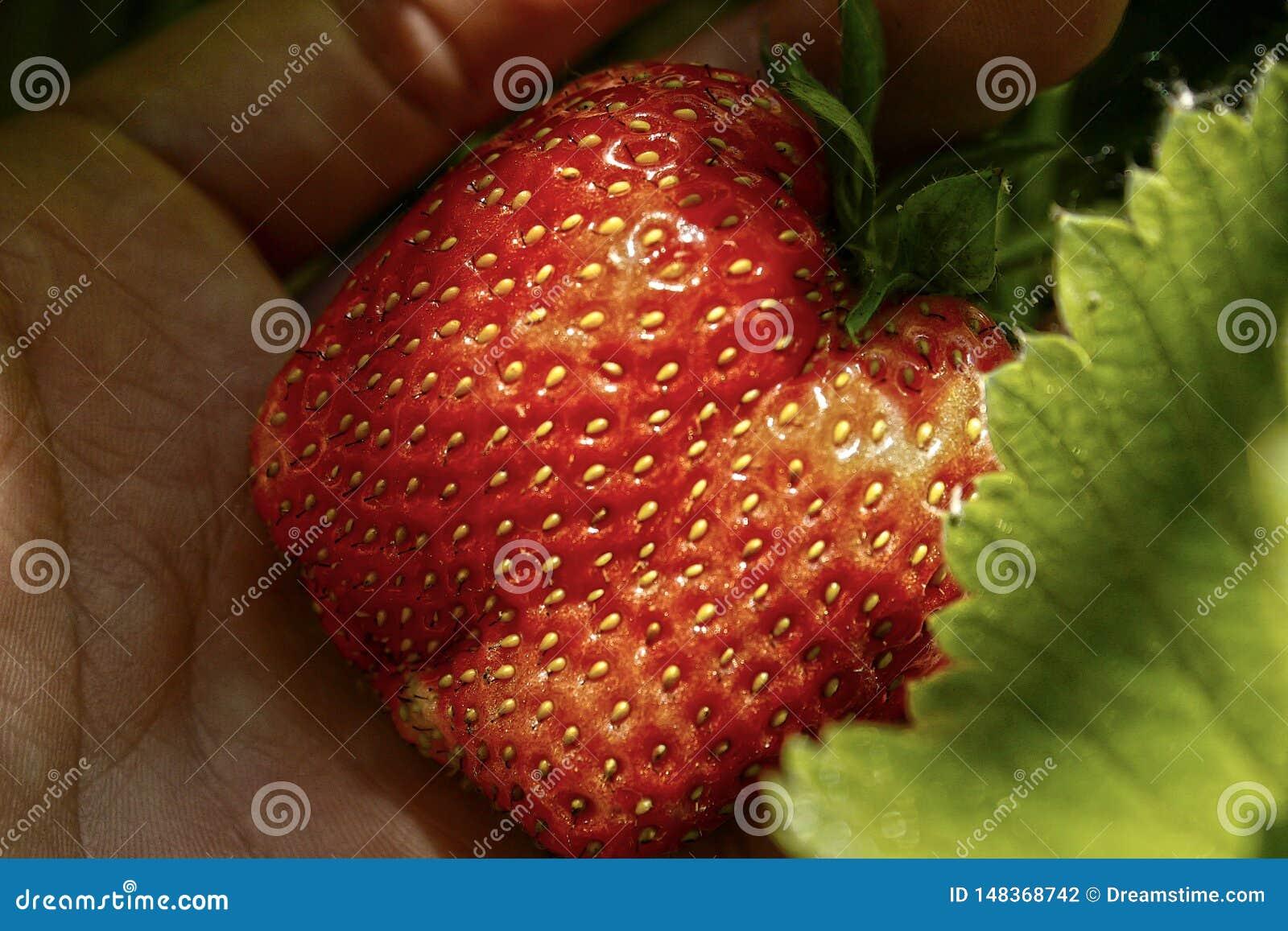 Czerwona truskawka na r?ce w g?r?