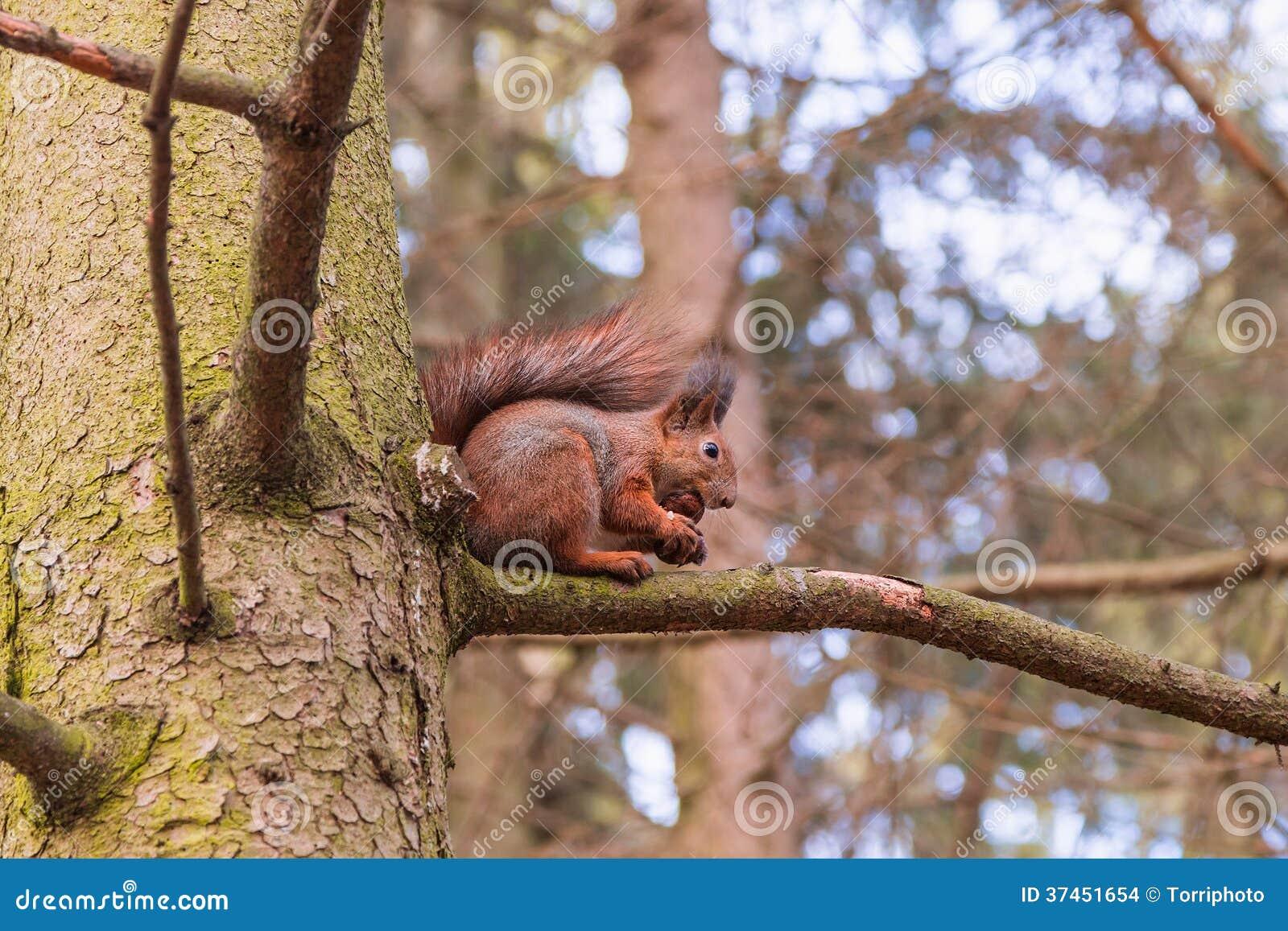 Czerwona wiewiórka je orzecha włoskiego (Sciurus vulgaris)