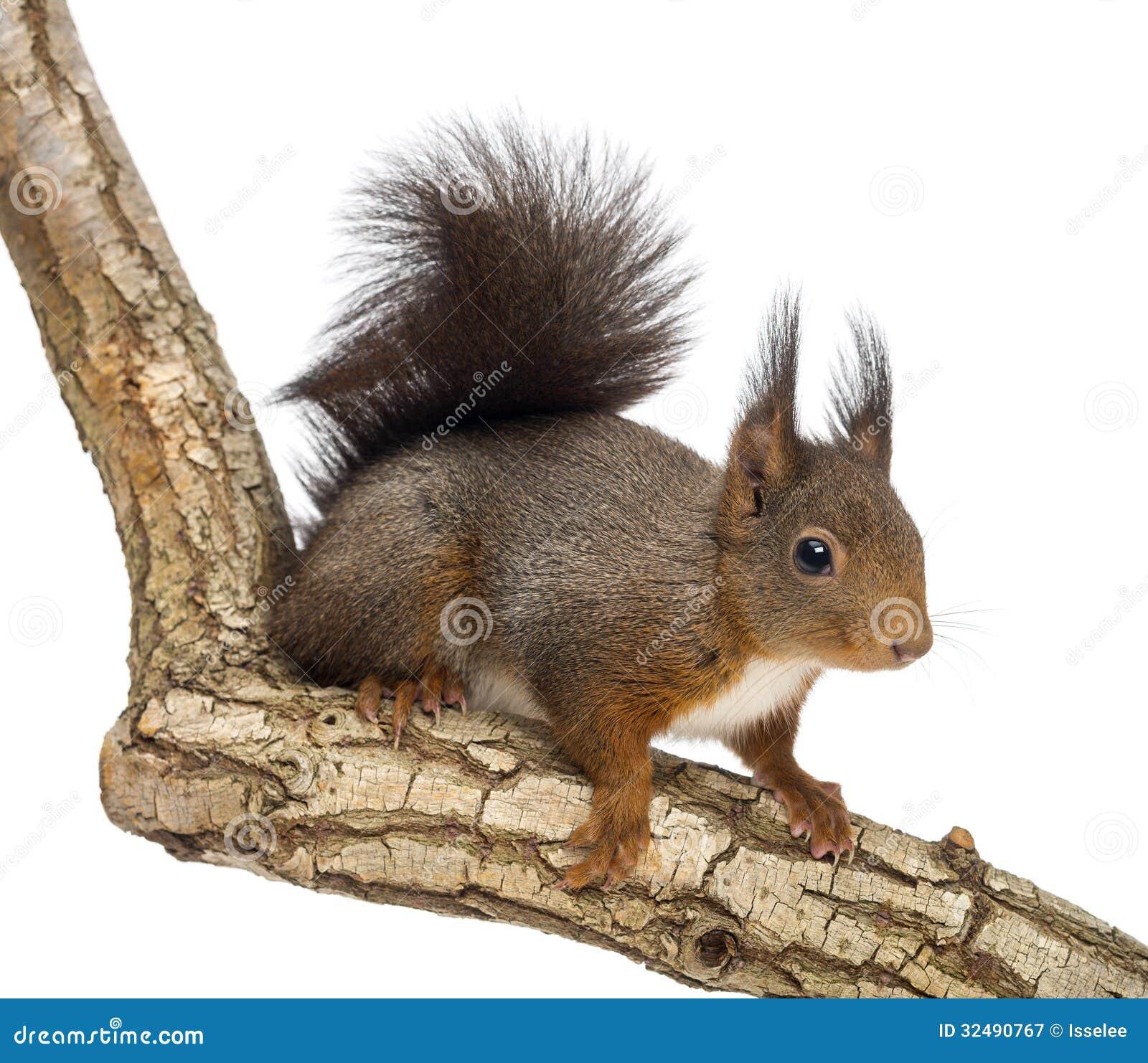 Czerwona wiewiórka lub Eurazjatycka czerwona wiewiórka, Sciurus vulgaris, pozycja