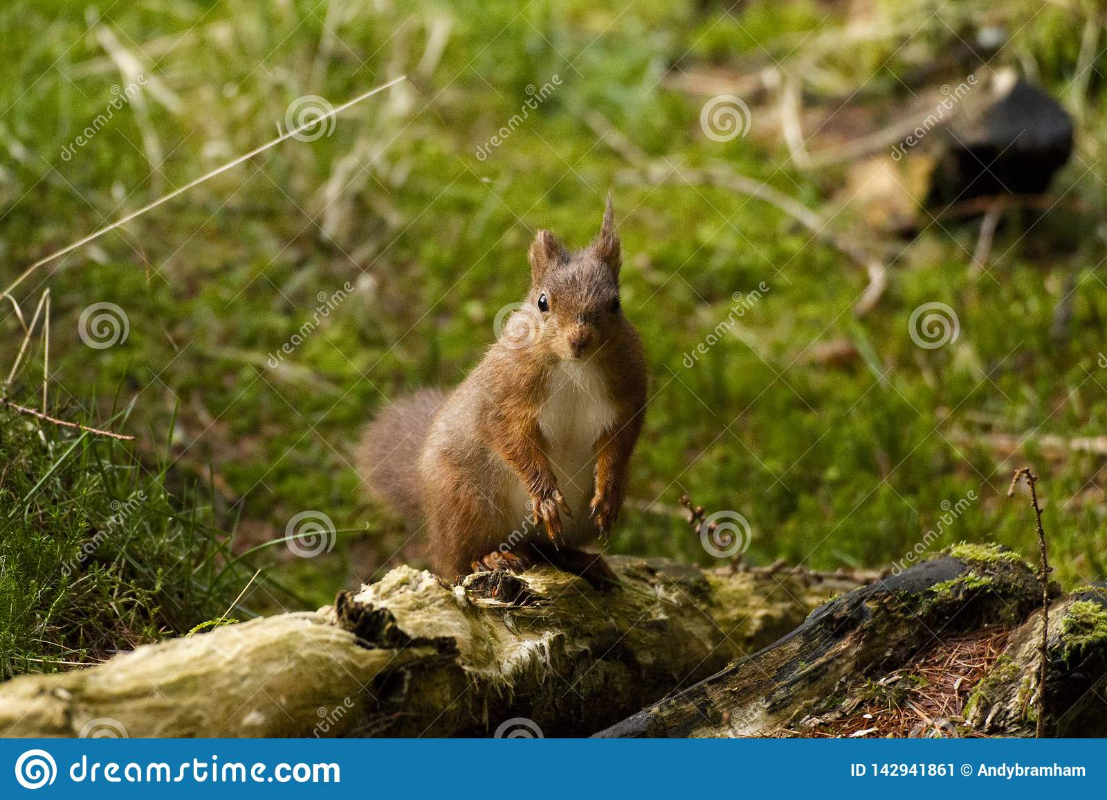 Czerwona wiewiórka od Yorkshire