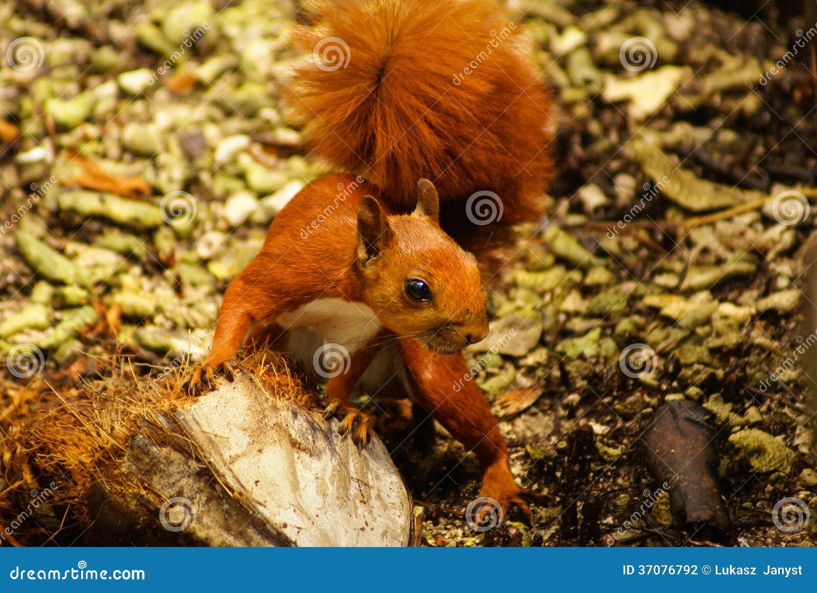Download Czerwona Wiewiórka W Wyspie Mucura, Kolumbia Zdjęcie Stock - Obraz złożonej z zakończenie, plenerowy: 37076792