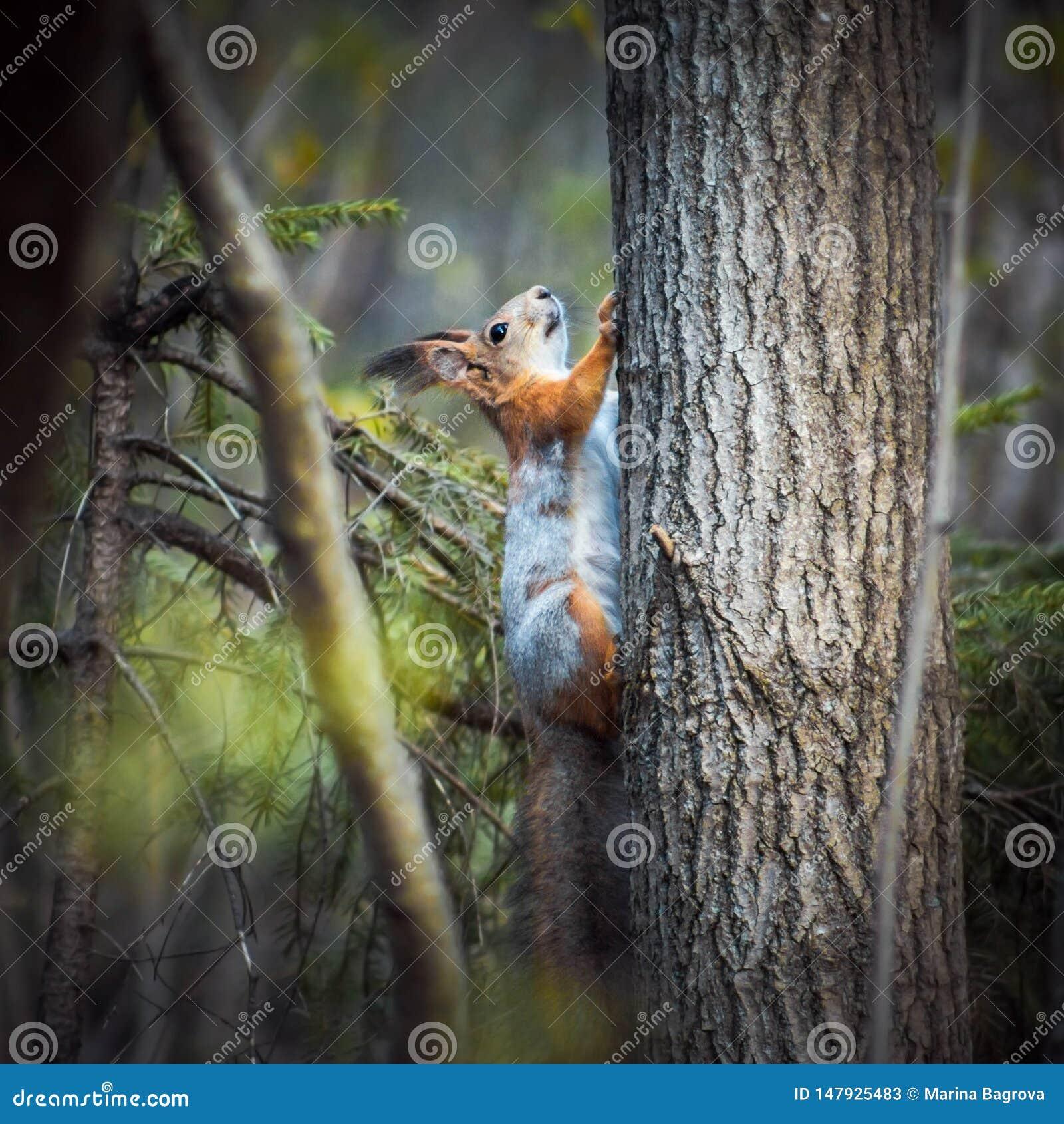 Czerwona wiewiórka wspina się drzewa w lesie na zielonym tle Popielaty pomarańczowy futerko Mała ślepuszonka z puszystym ogonem W